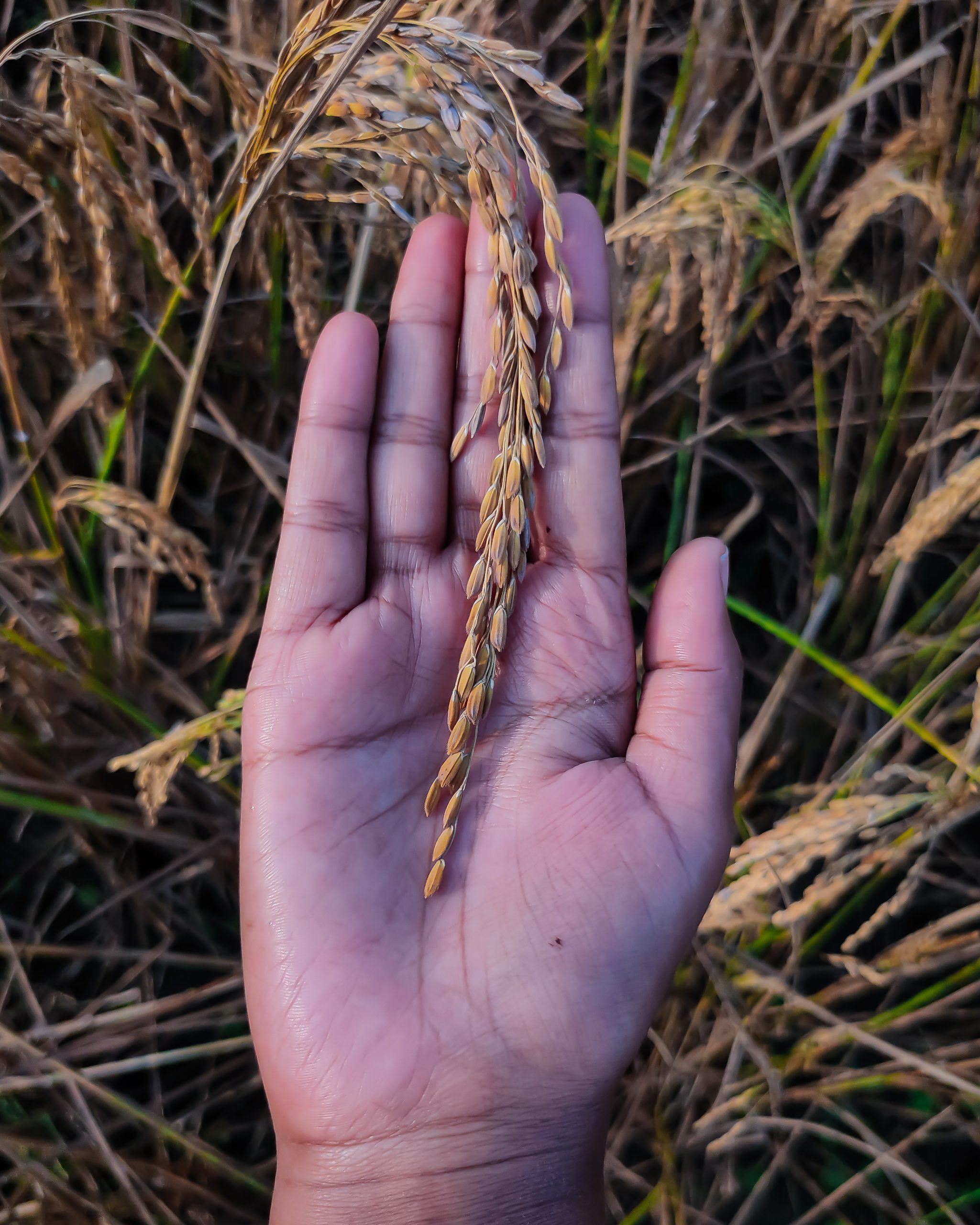 Rice plant seeds in hand
