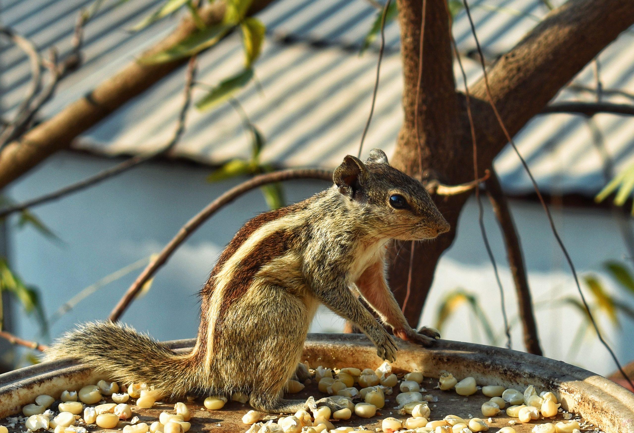 Indian Squirrel Close-up