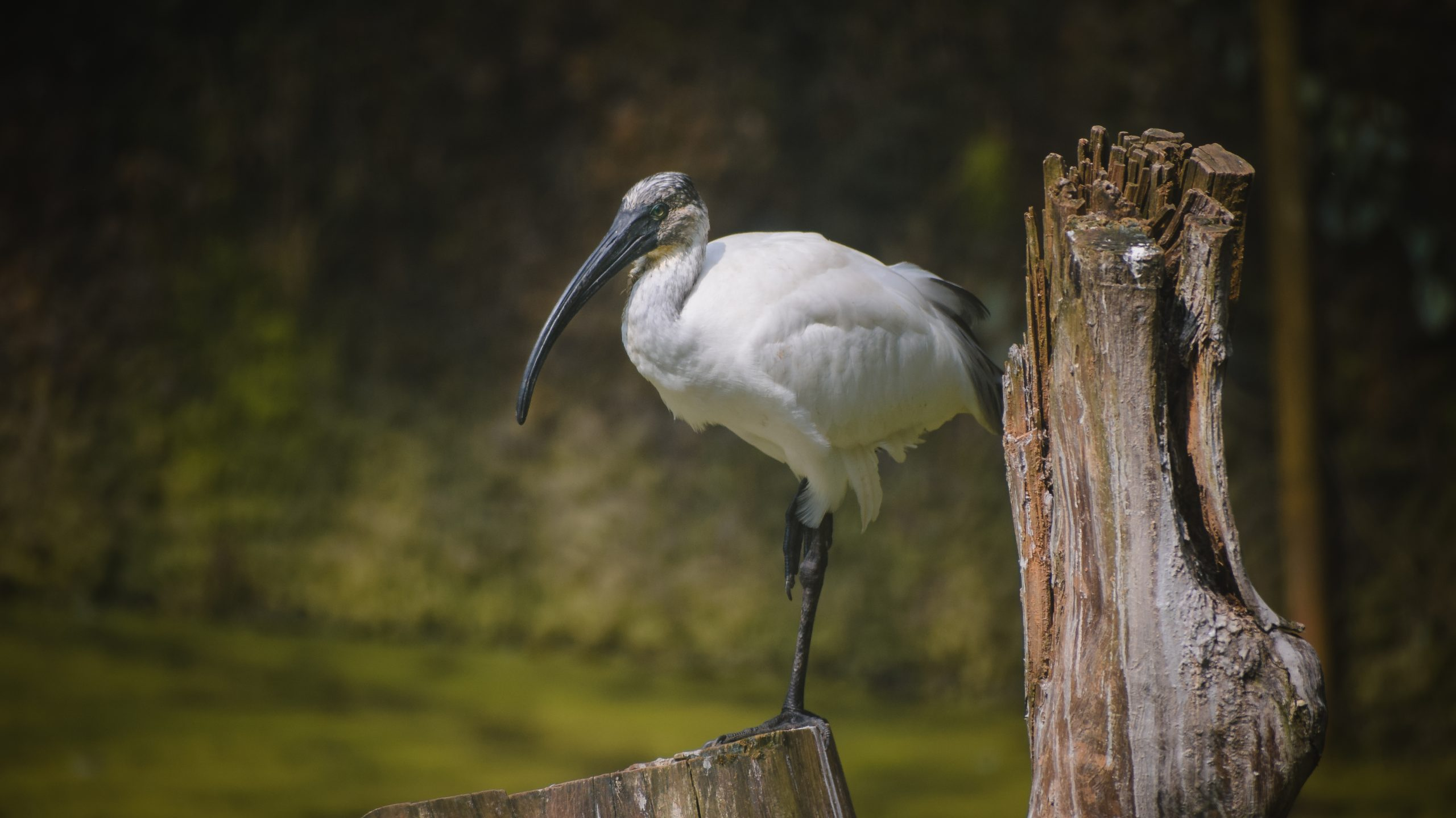 Ibis sitting on wood