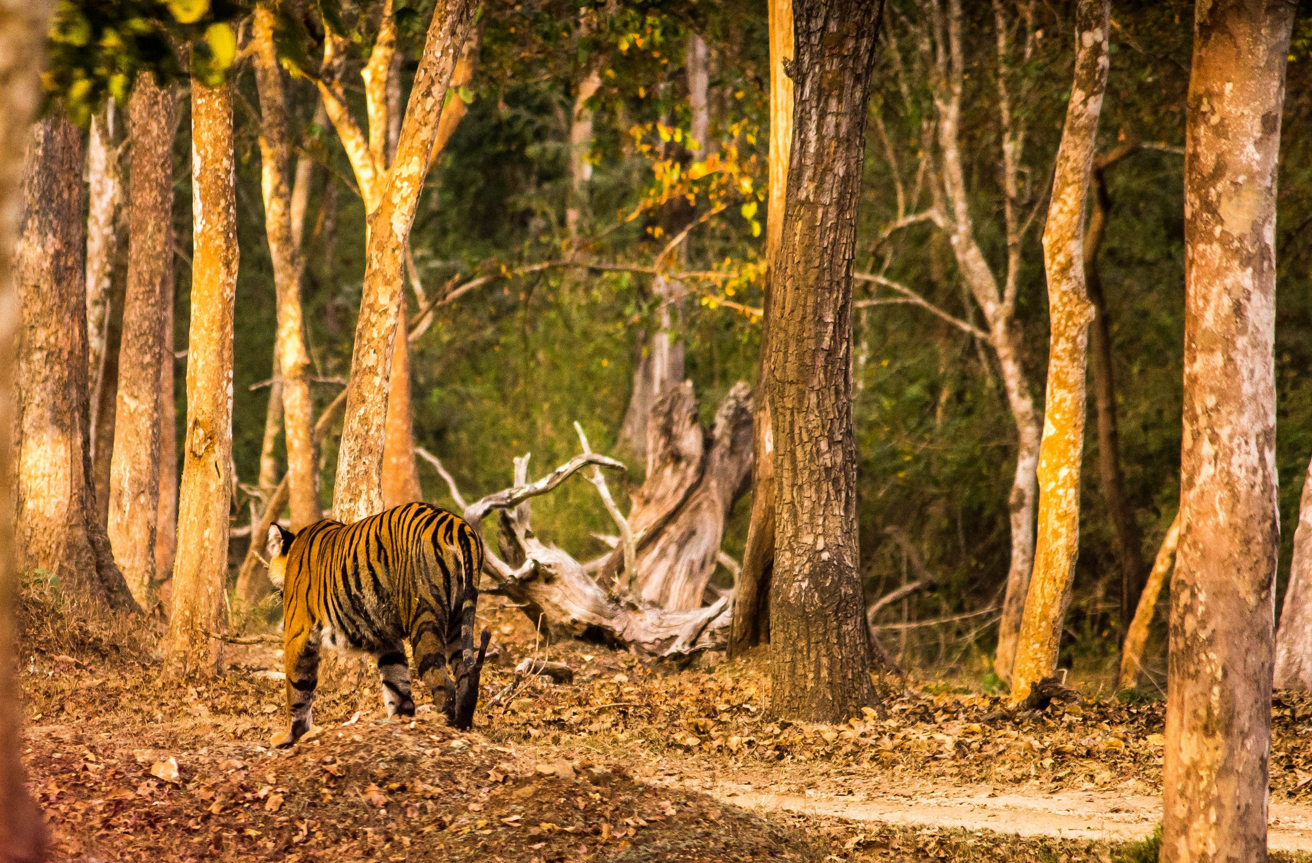 Tiger in forest