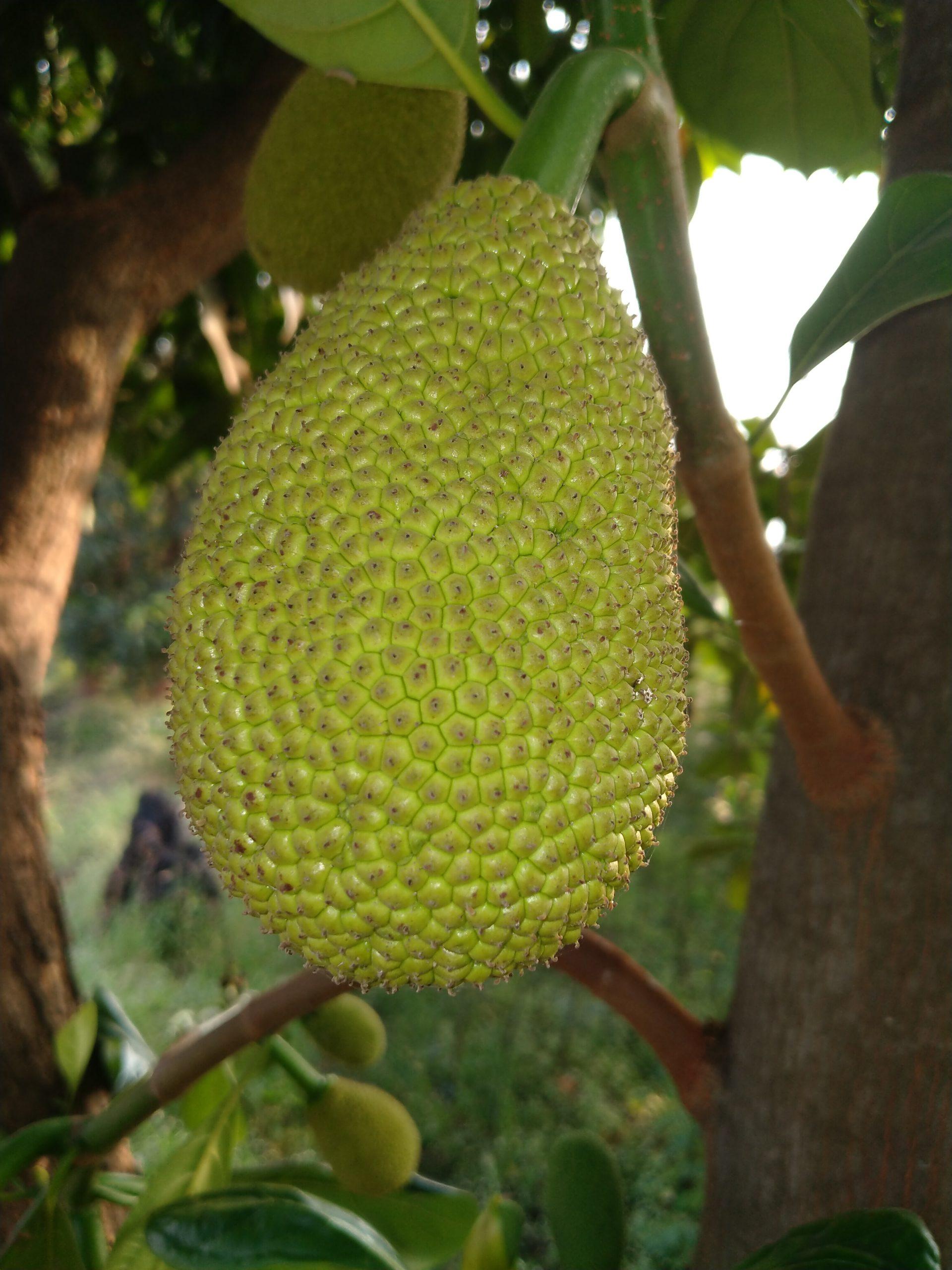 Jackfruit hanging on tree