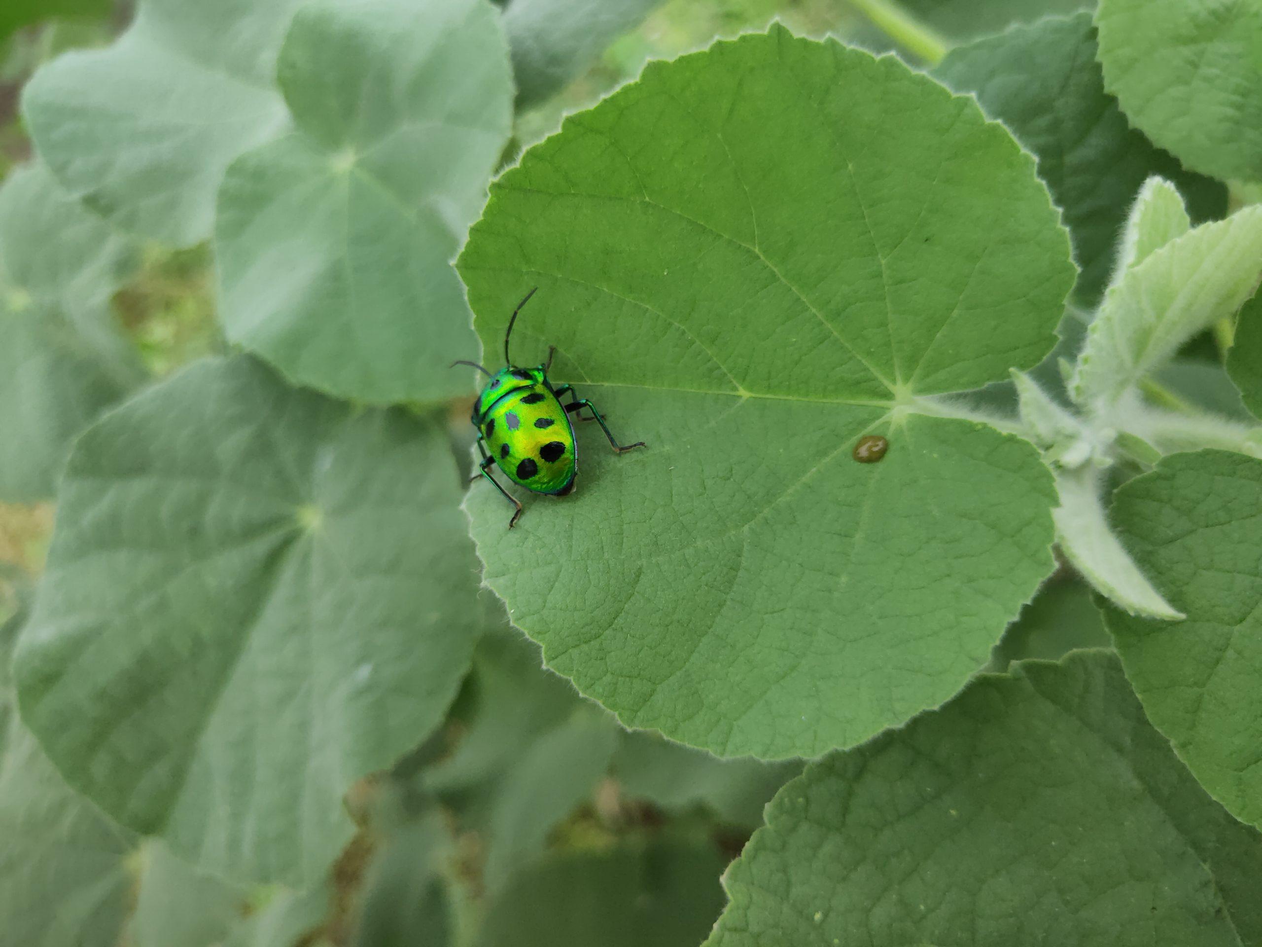 Jewel bug on a leaf