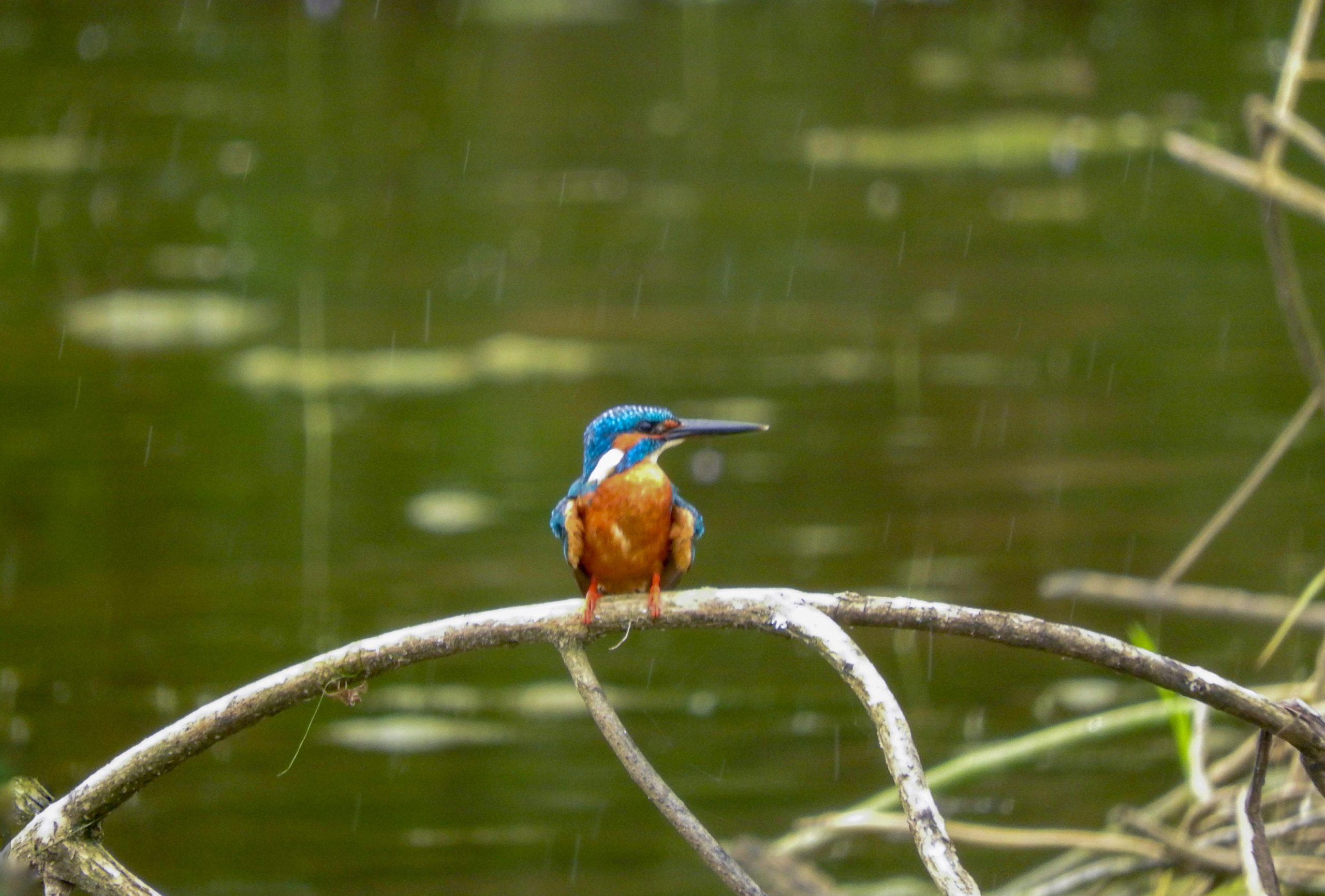 King Fisher sitting on a branch of a tree