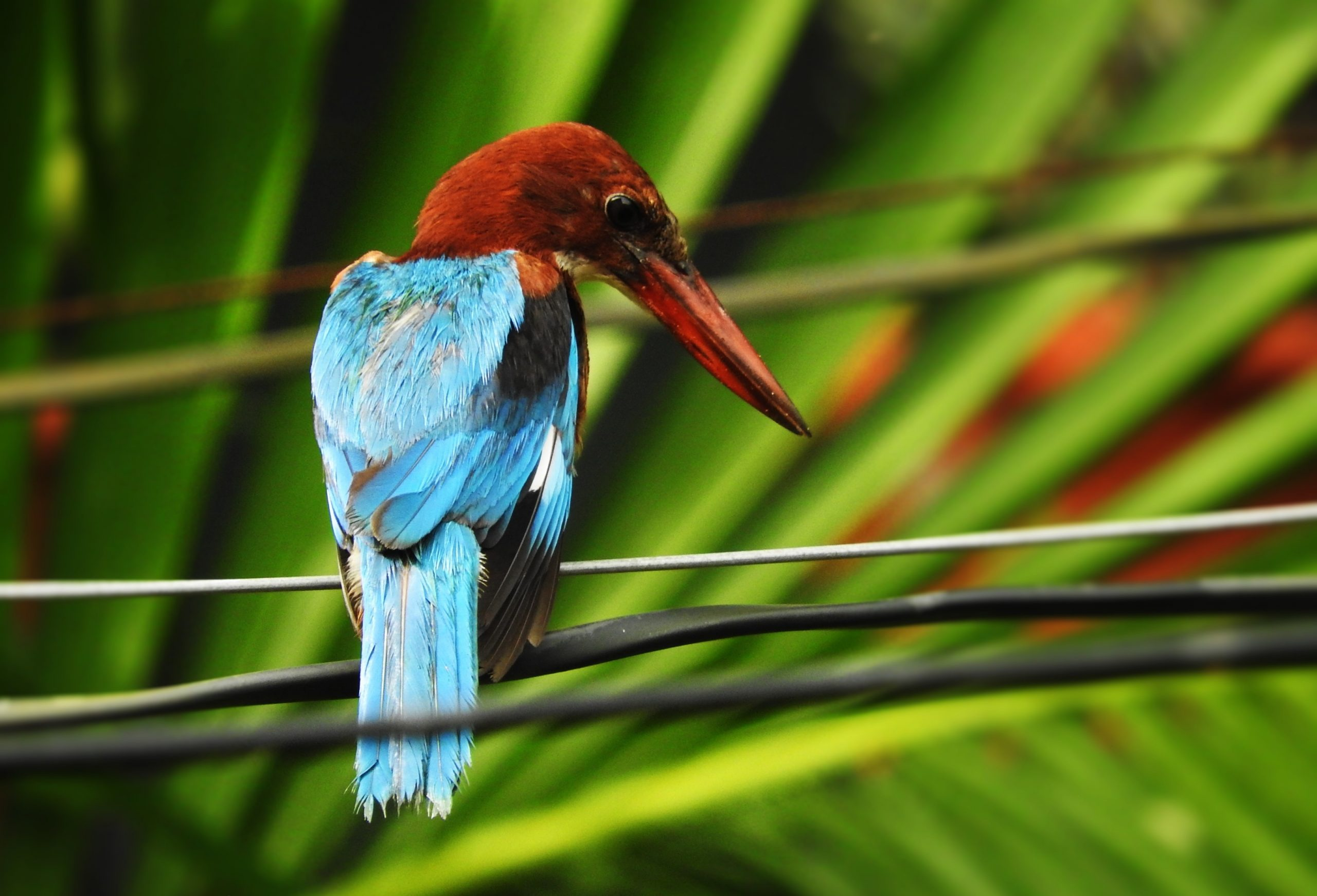 Kingfisher on cable