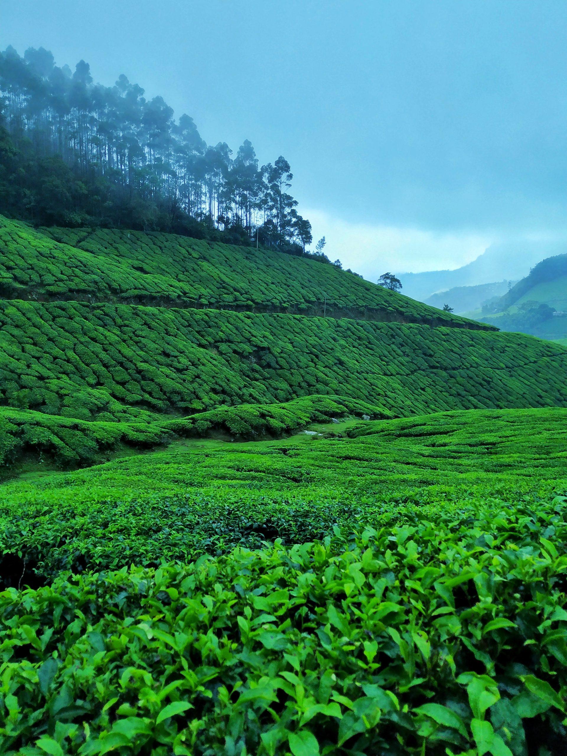 Kolukkumalai tea garden
