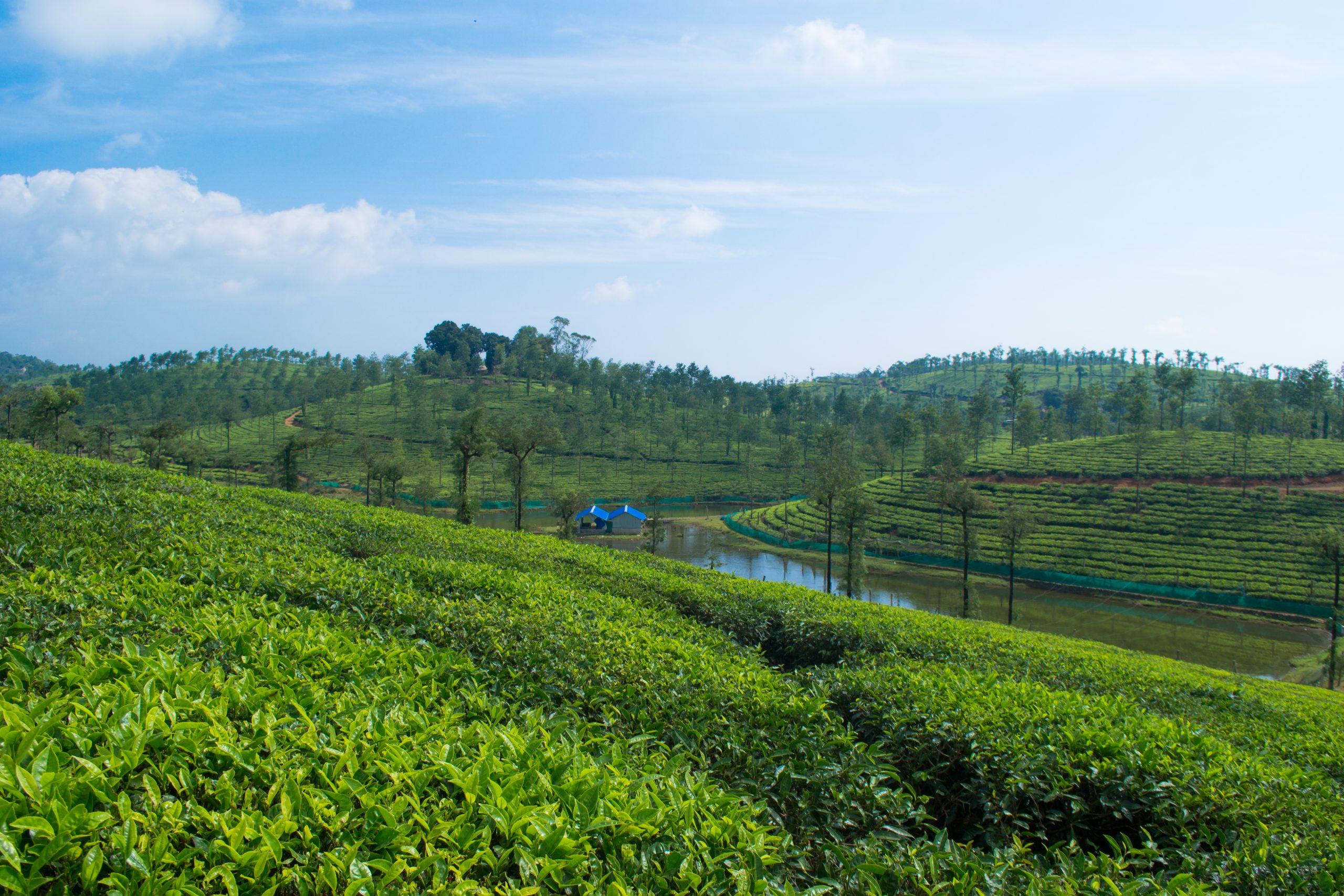 Landscape of a tree plantation