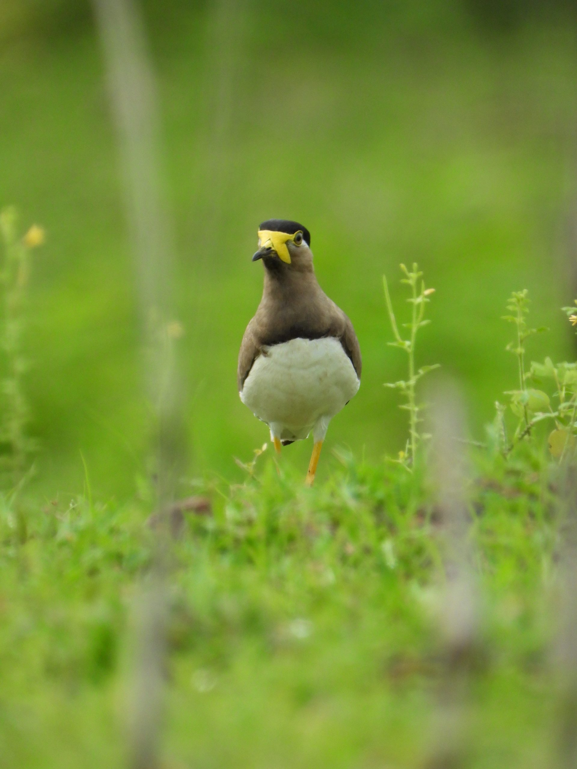 Lapwing in farm