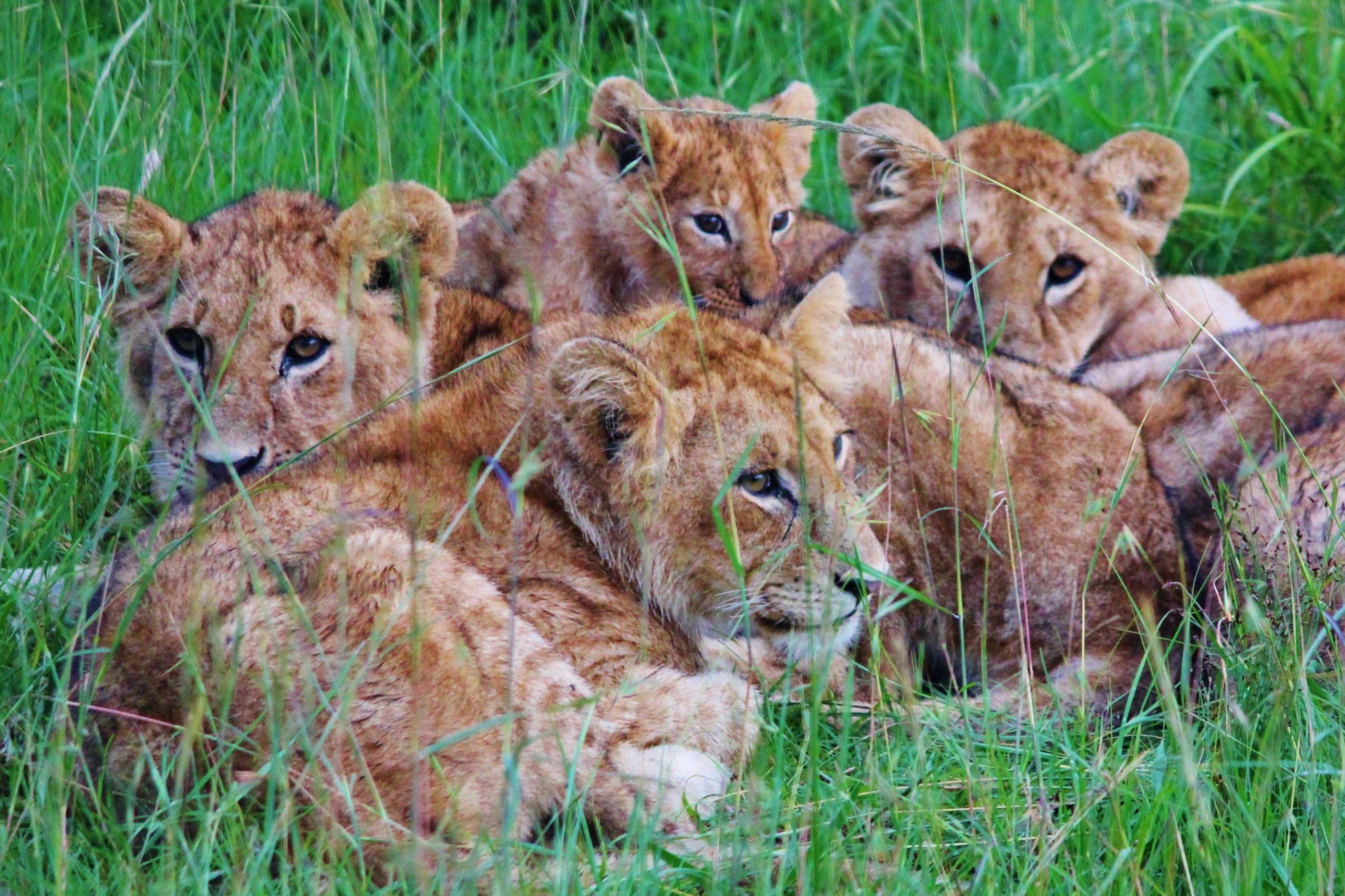 Lion pride in crop farm