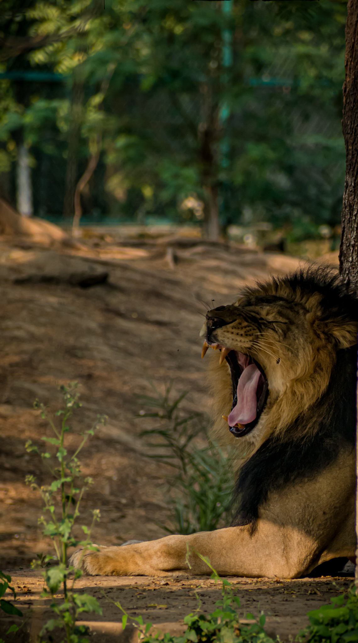 Lion yawning in forest