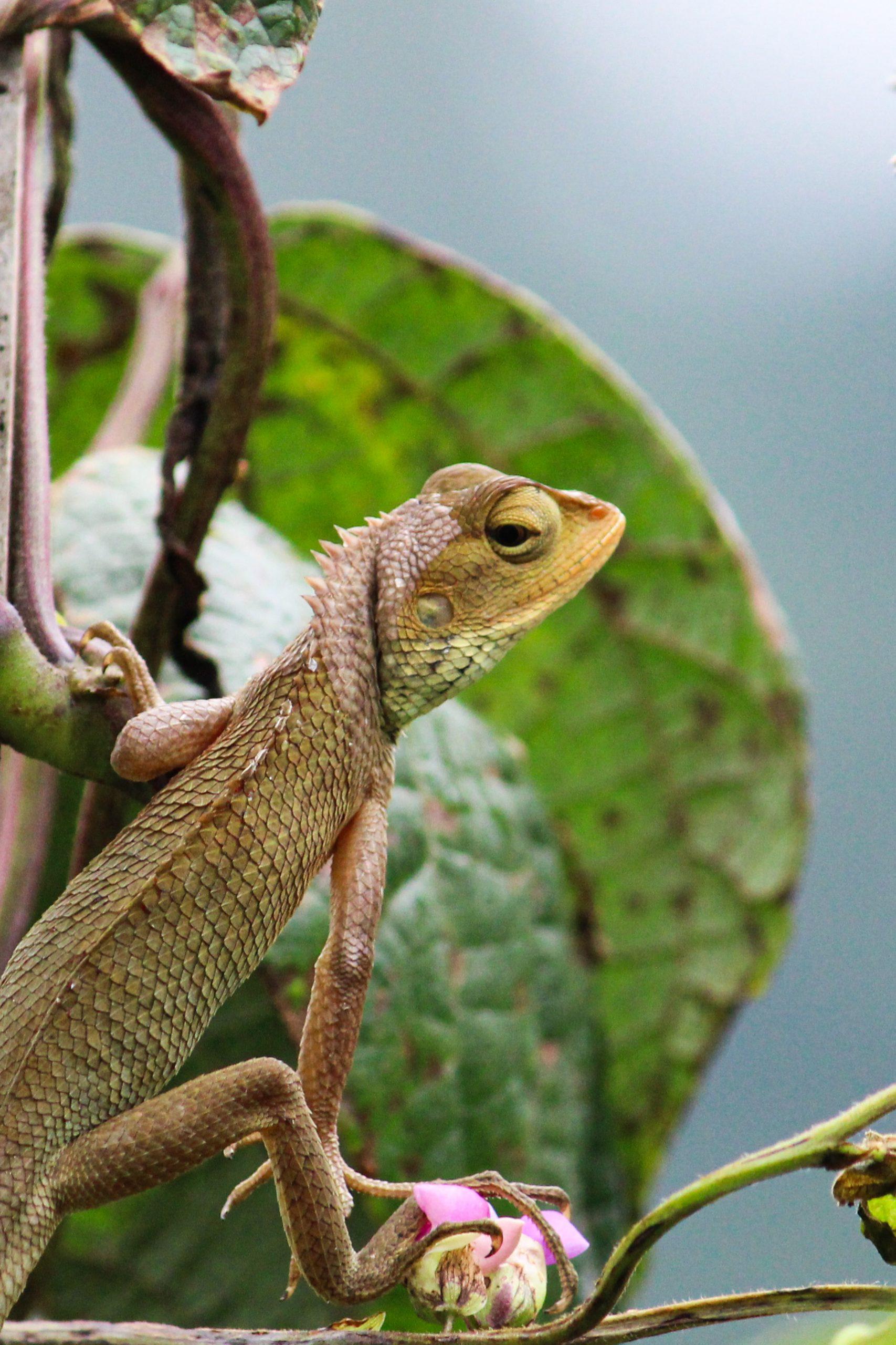 Chameleon on tea branch