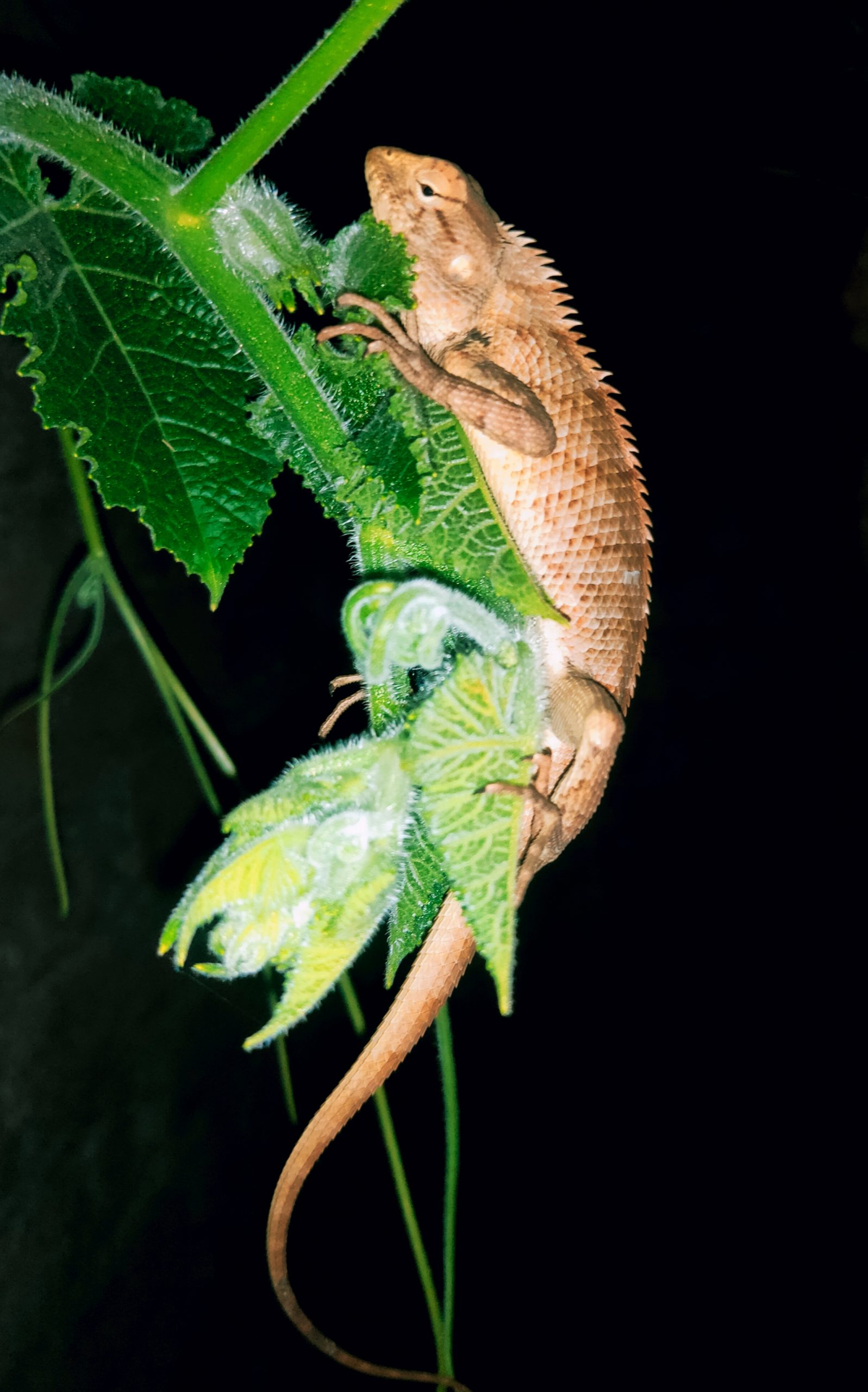 A chameleon on a vine plant