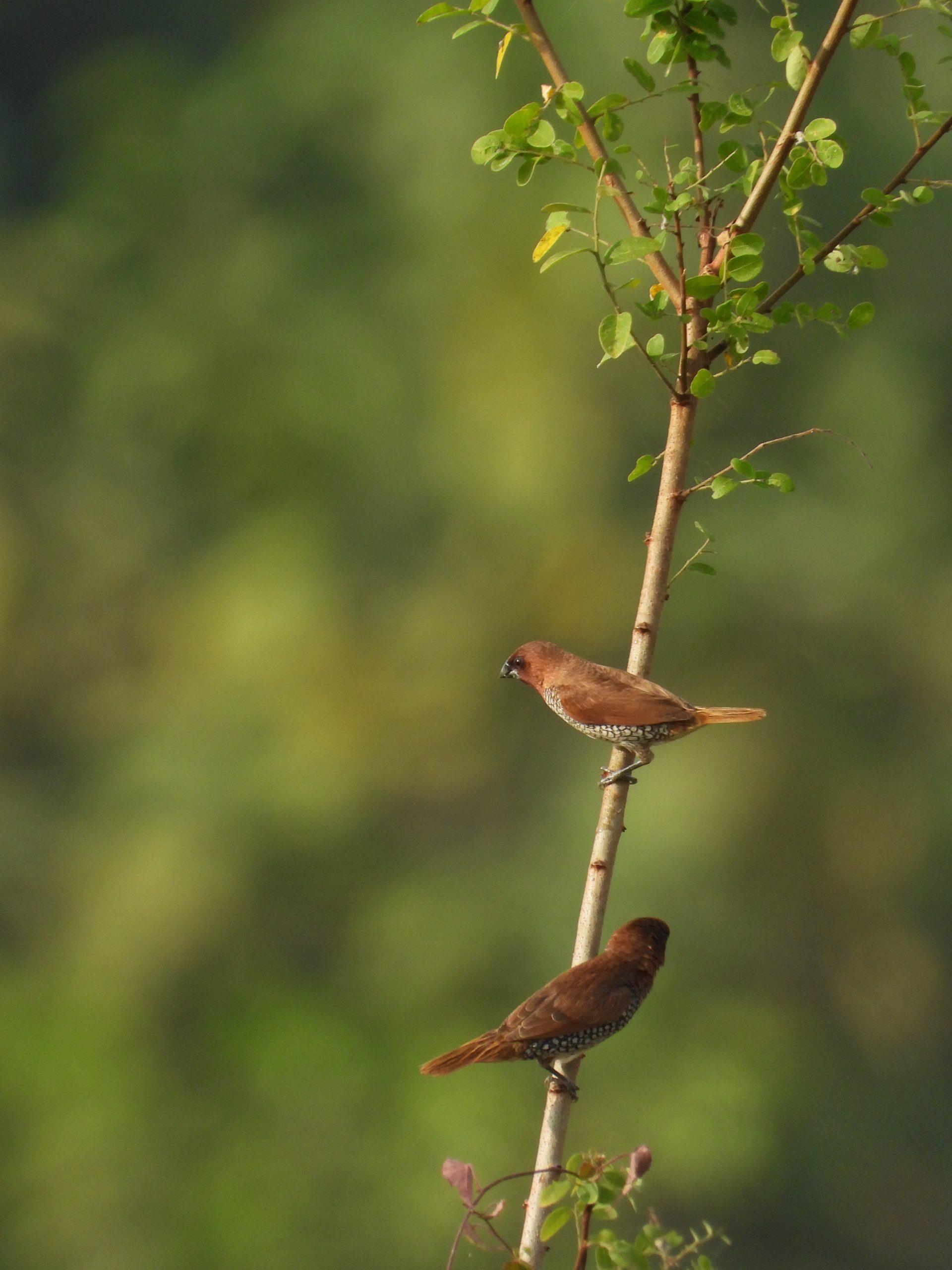 Birds sitting on a stem