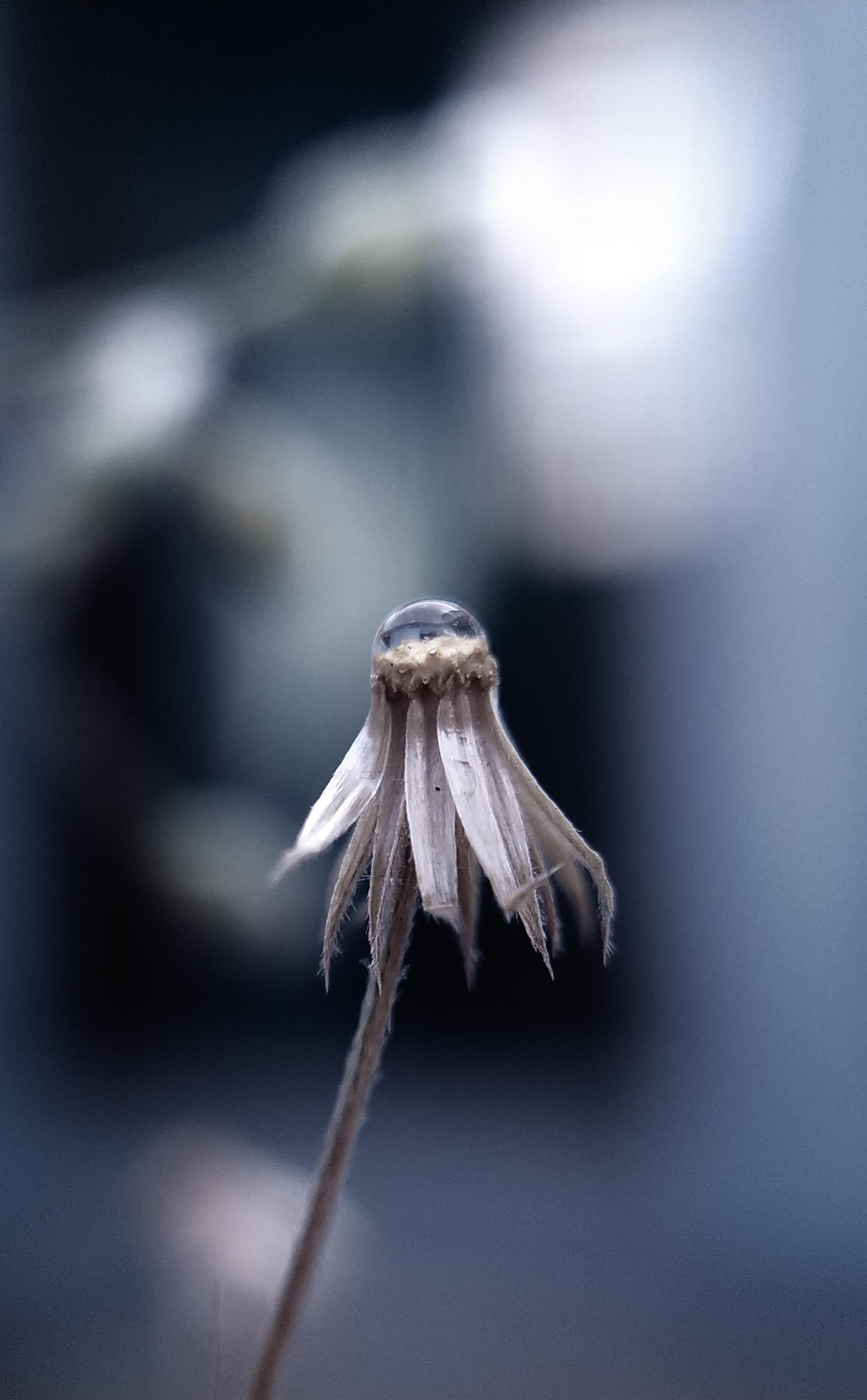 Water drops on dried flower