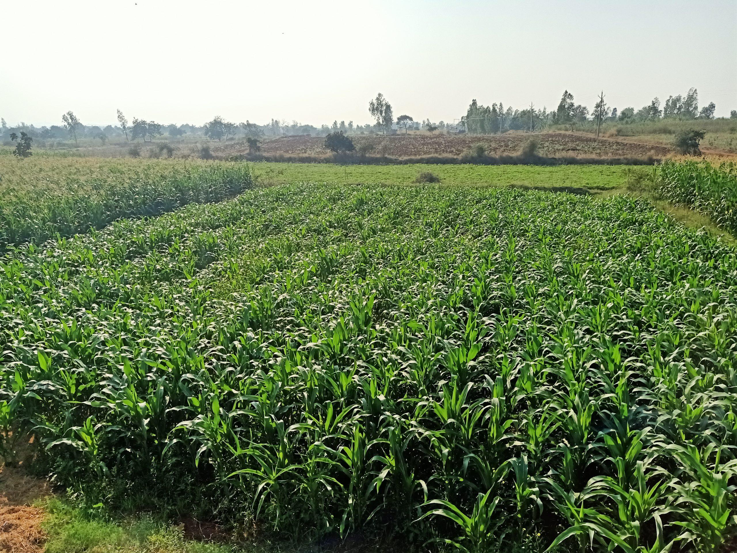 Maize plant fields