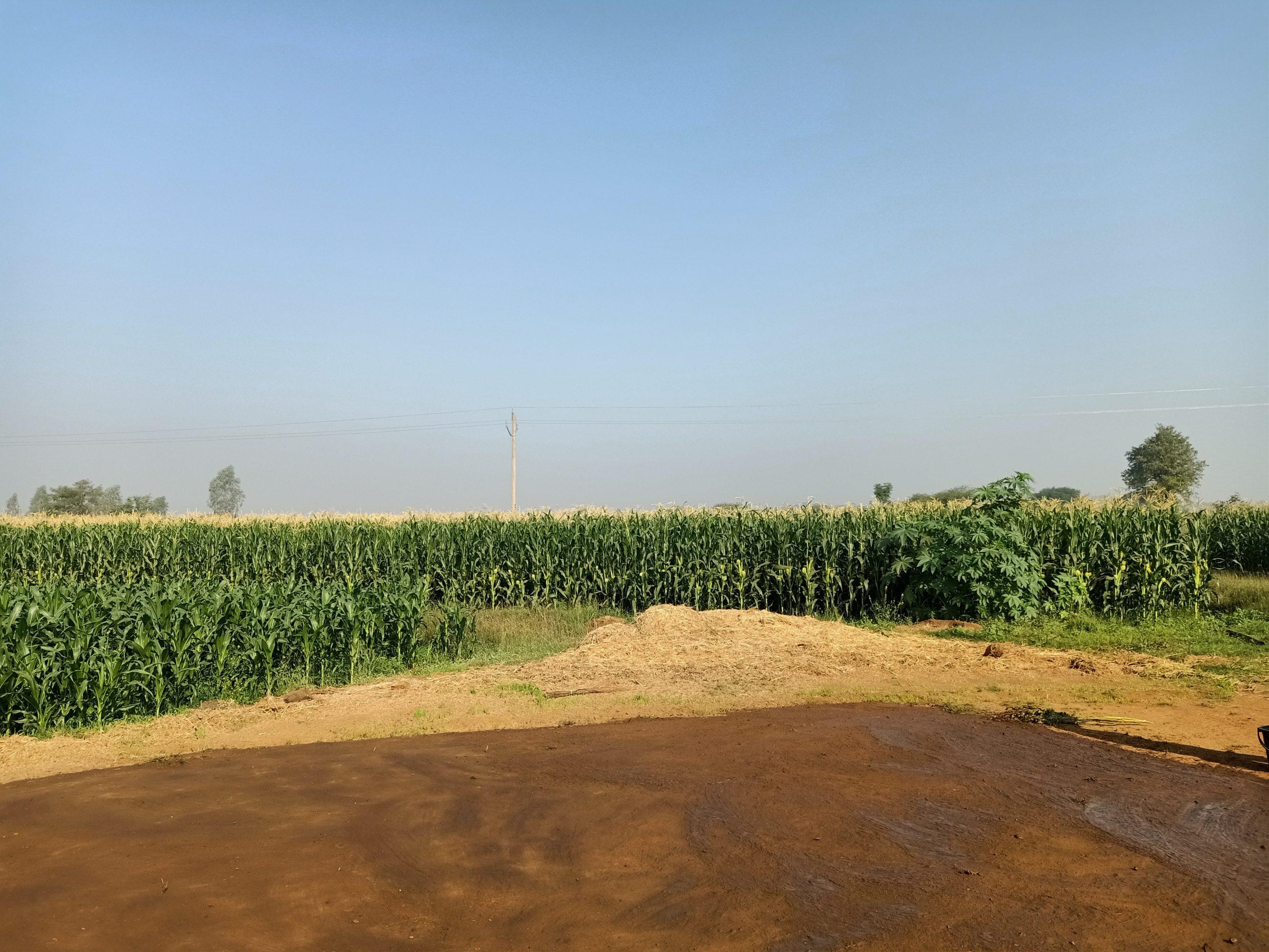 Maize plants fields