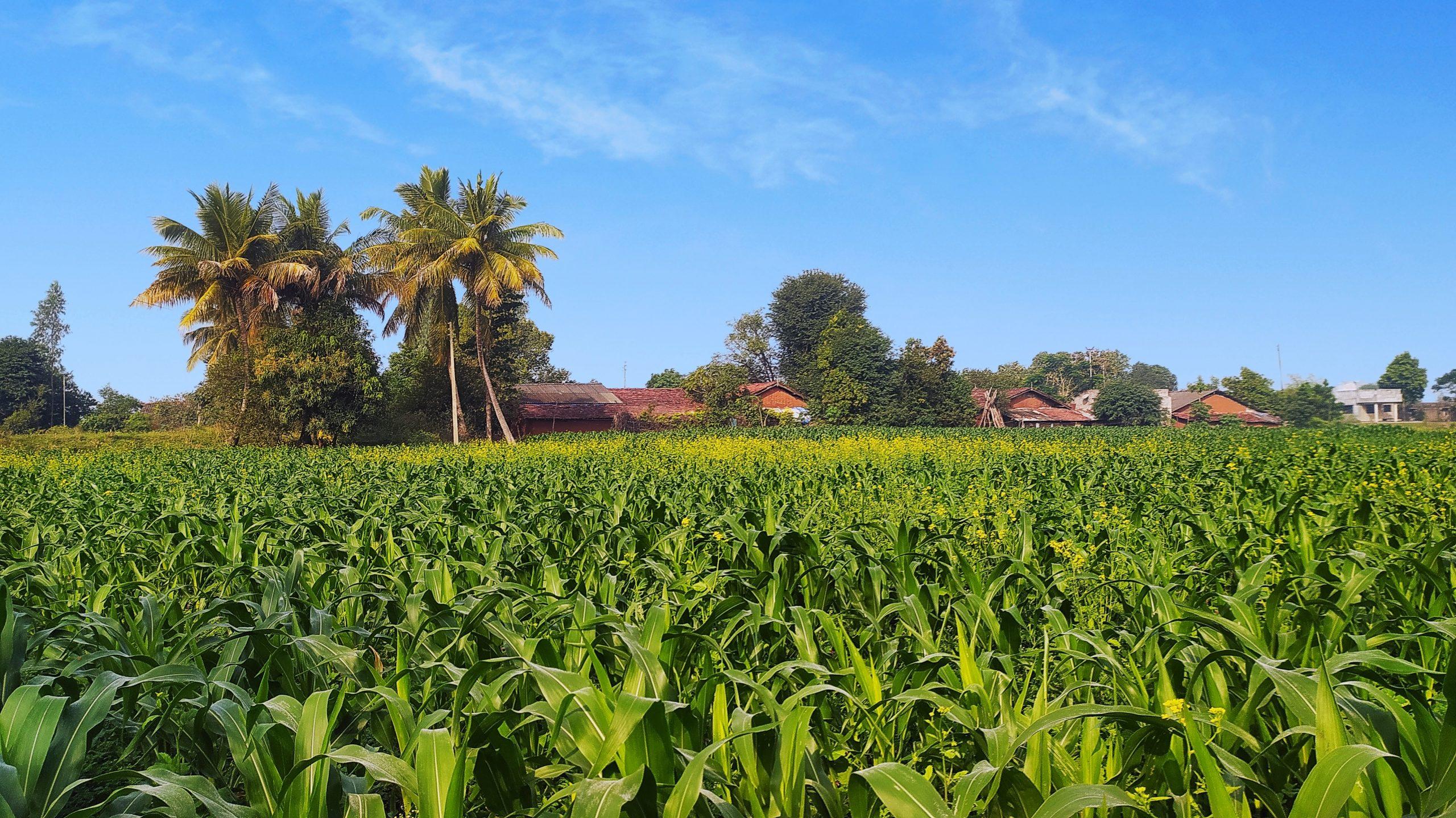 Maize plants field