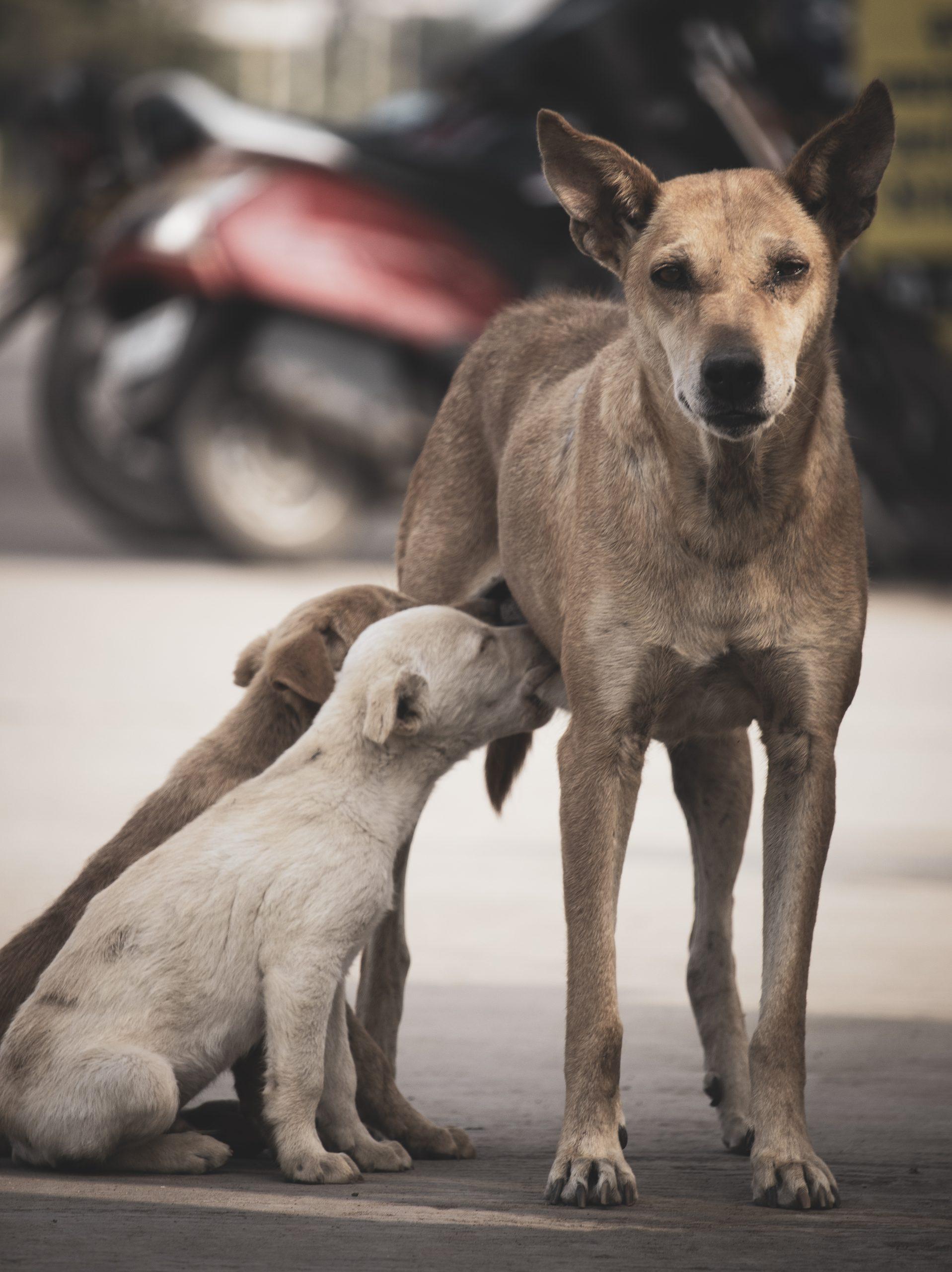 Bitch feeding puppies