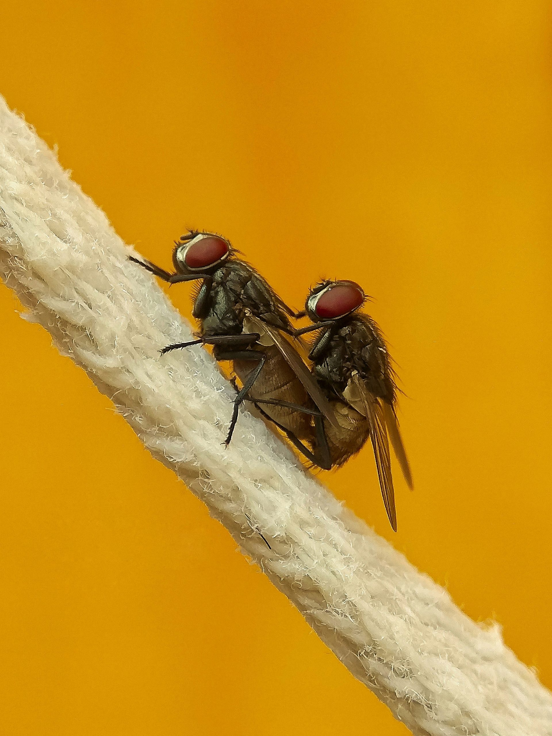 Mating of common housefly