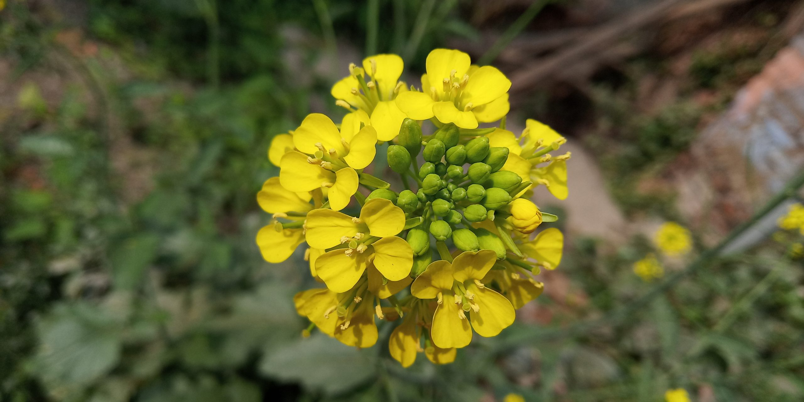 Mustard plant flower