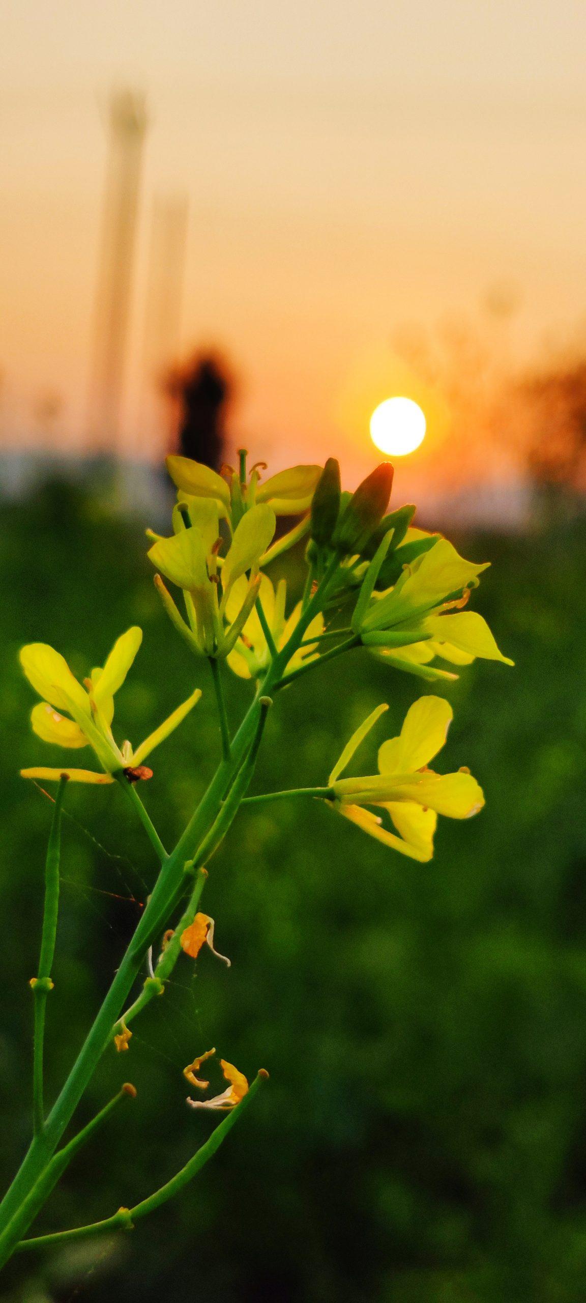 Mustard plant in sunlight