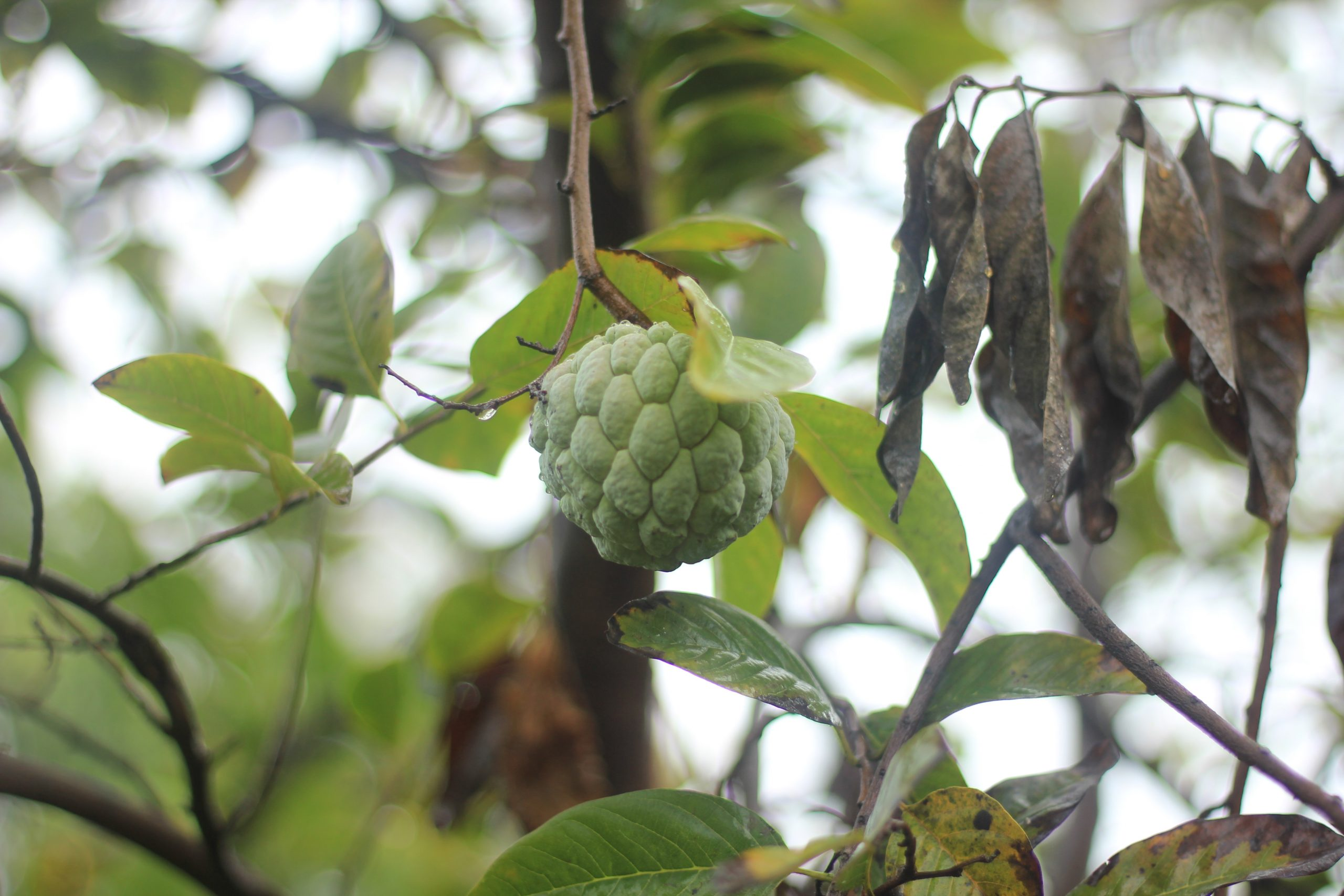 A custard apple hanging