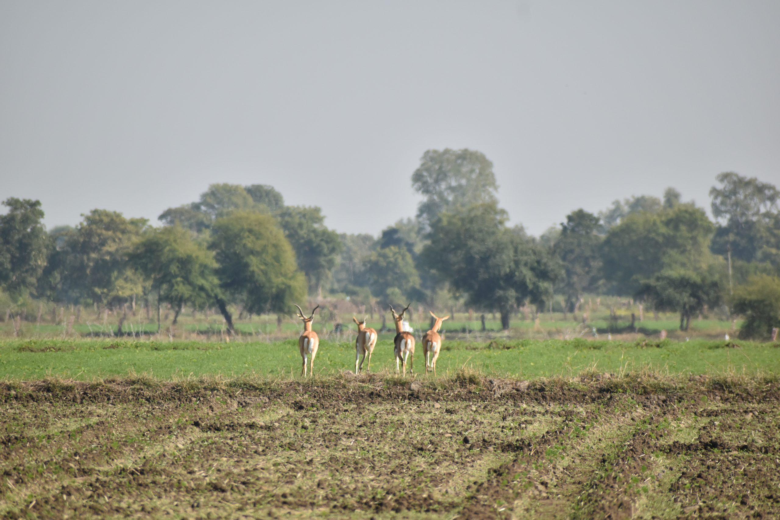Deer walking on agriculture land