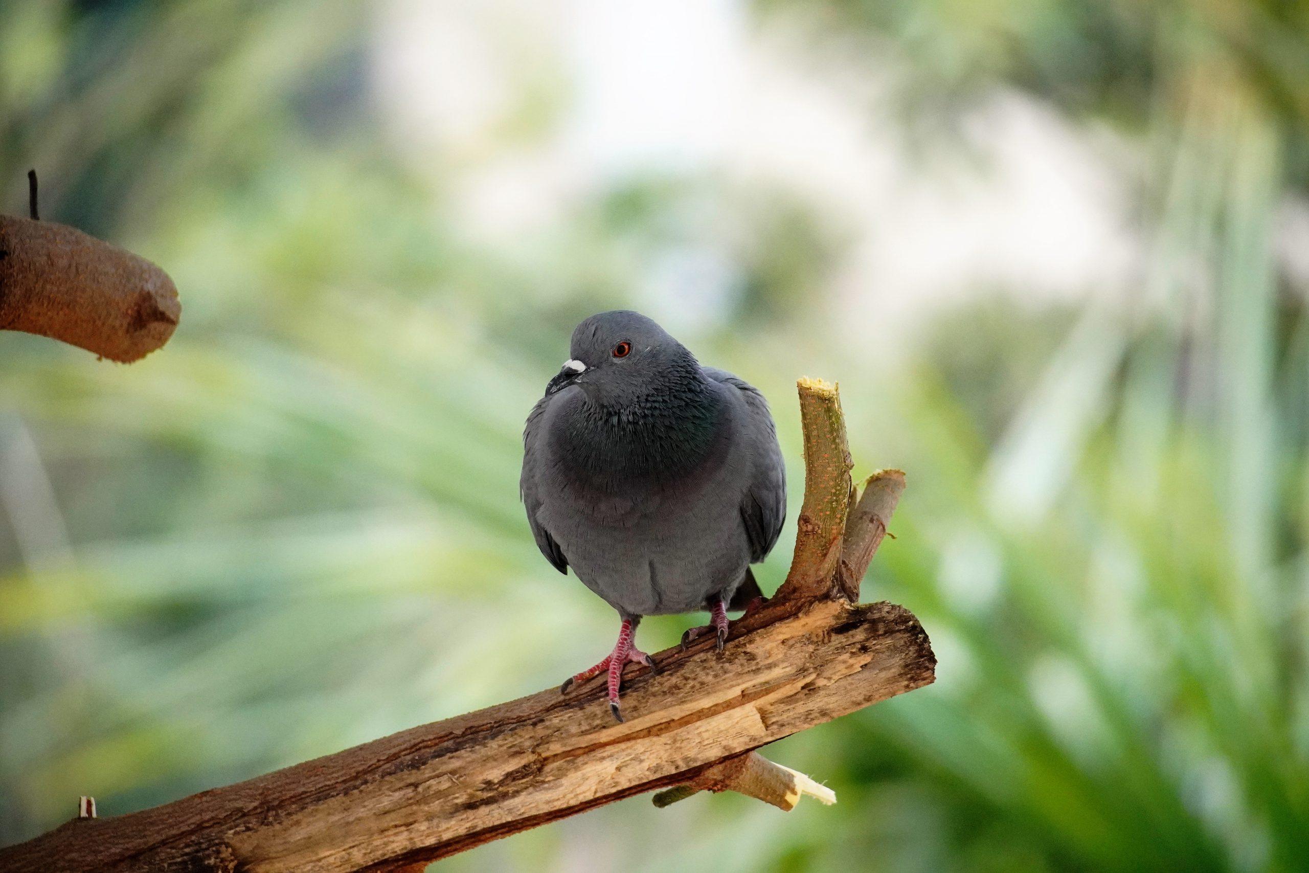 a sitting pigeon