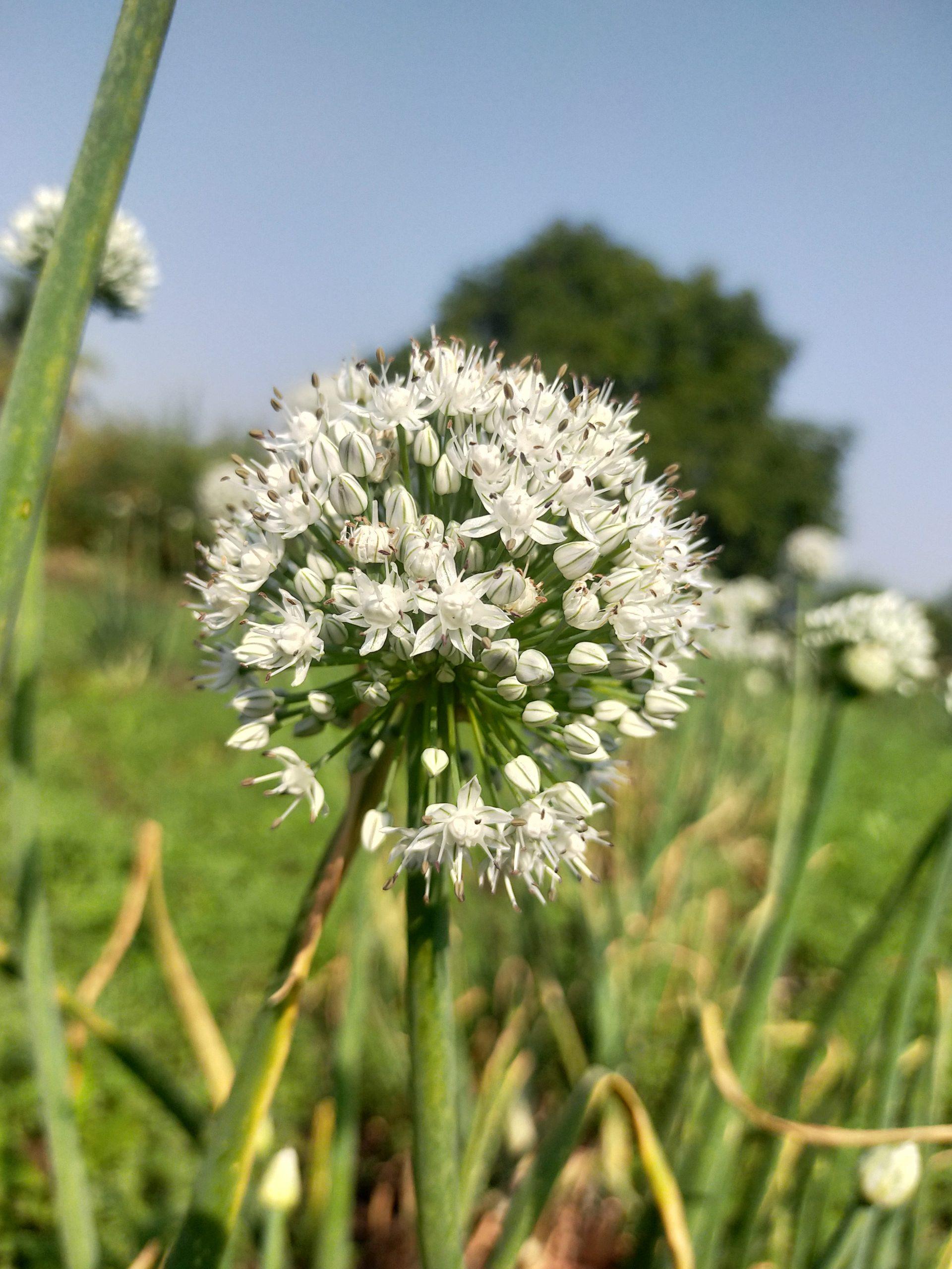 Onion plant flower