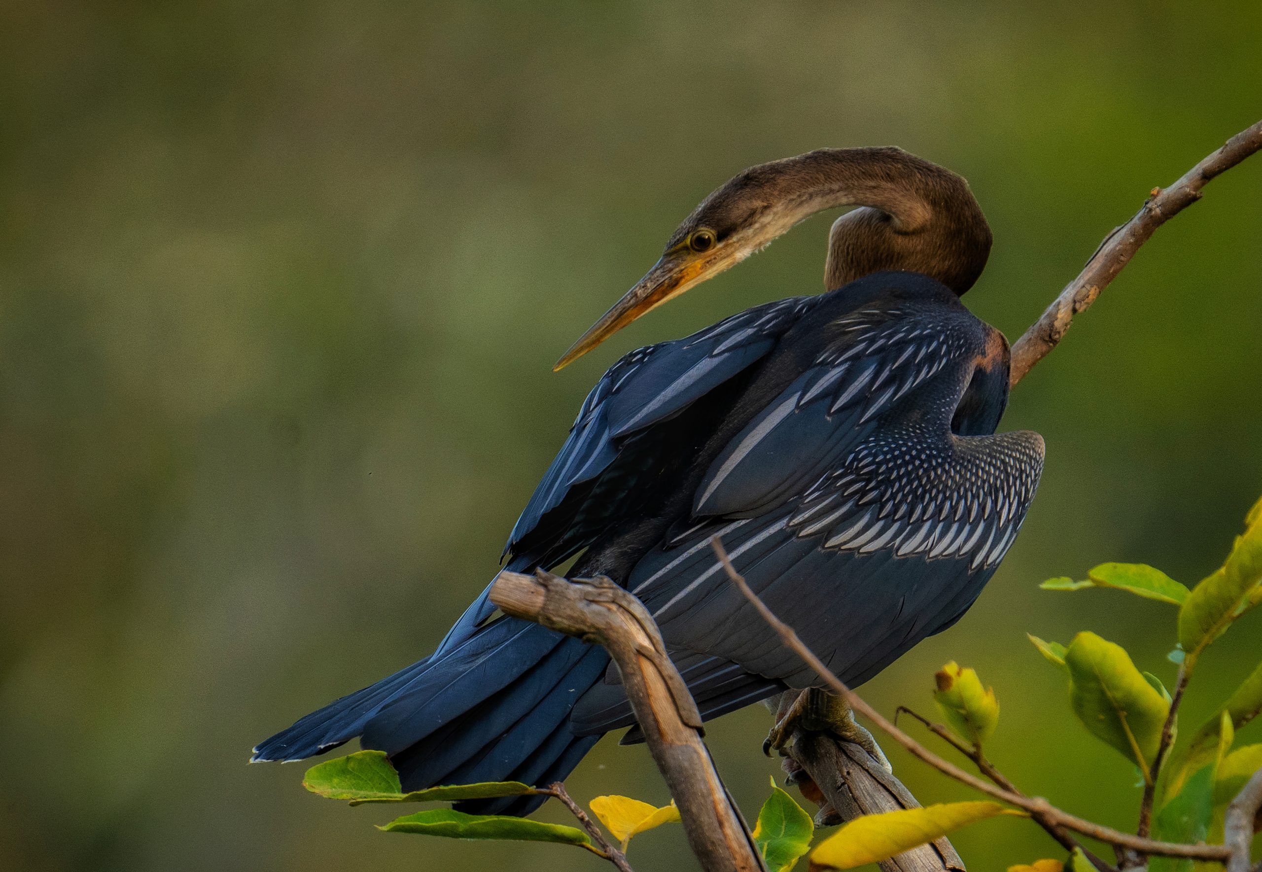 Oriental darter on a tree