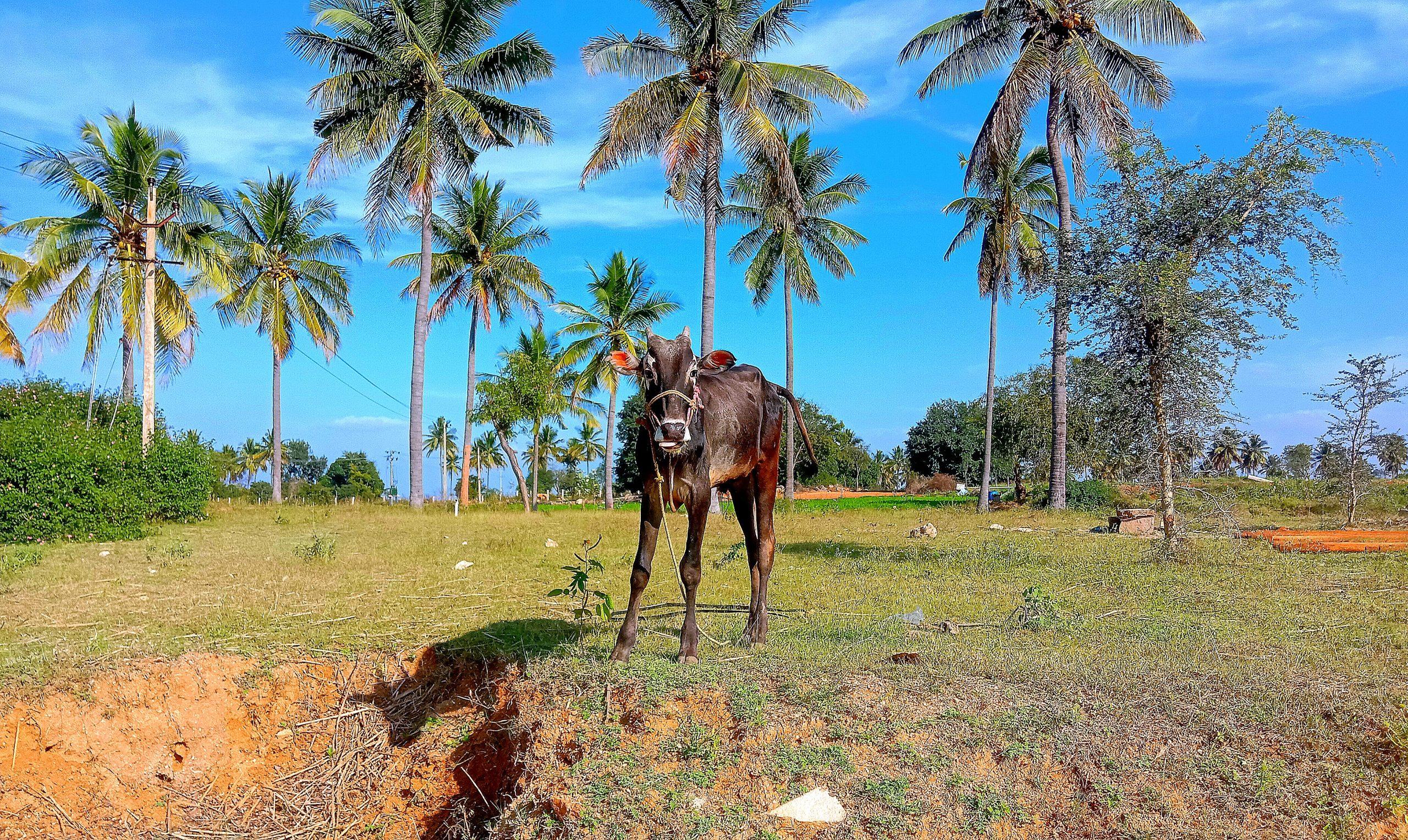 Ox in the farm