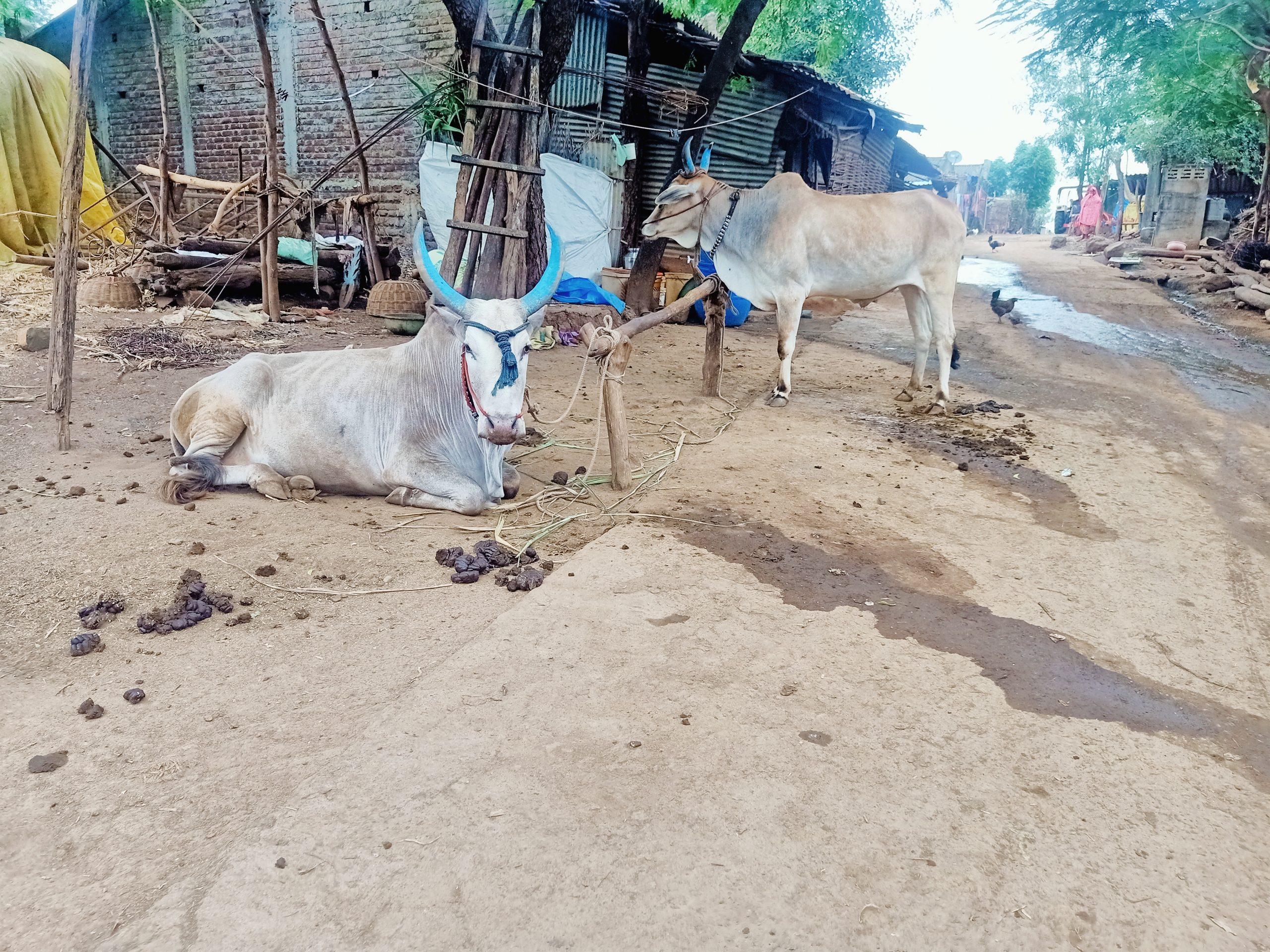 Oxen tied in a village