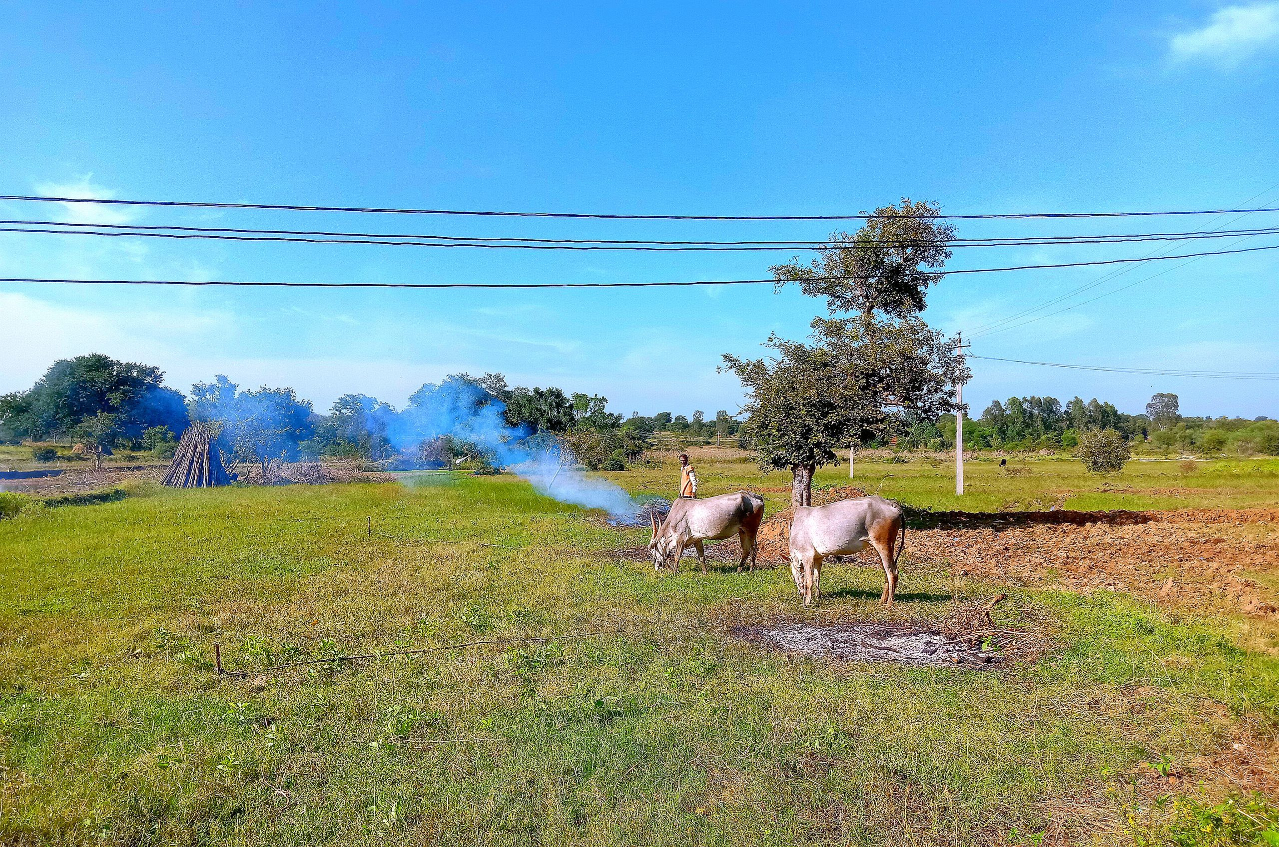 Oxen in agriculture land