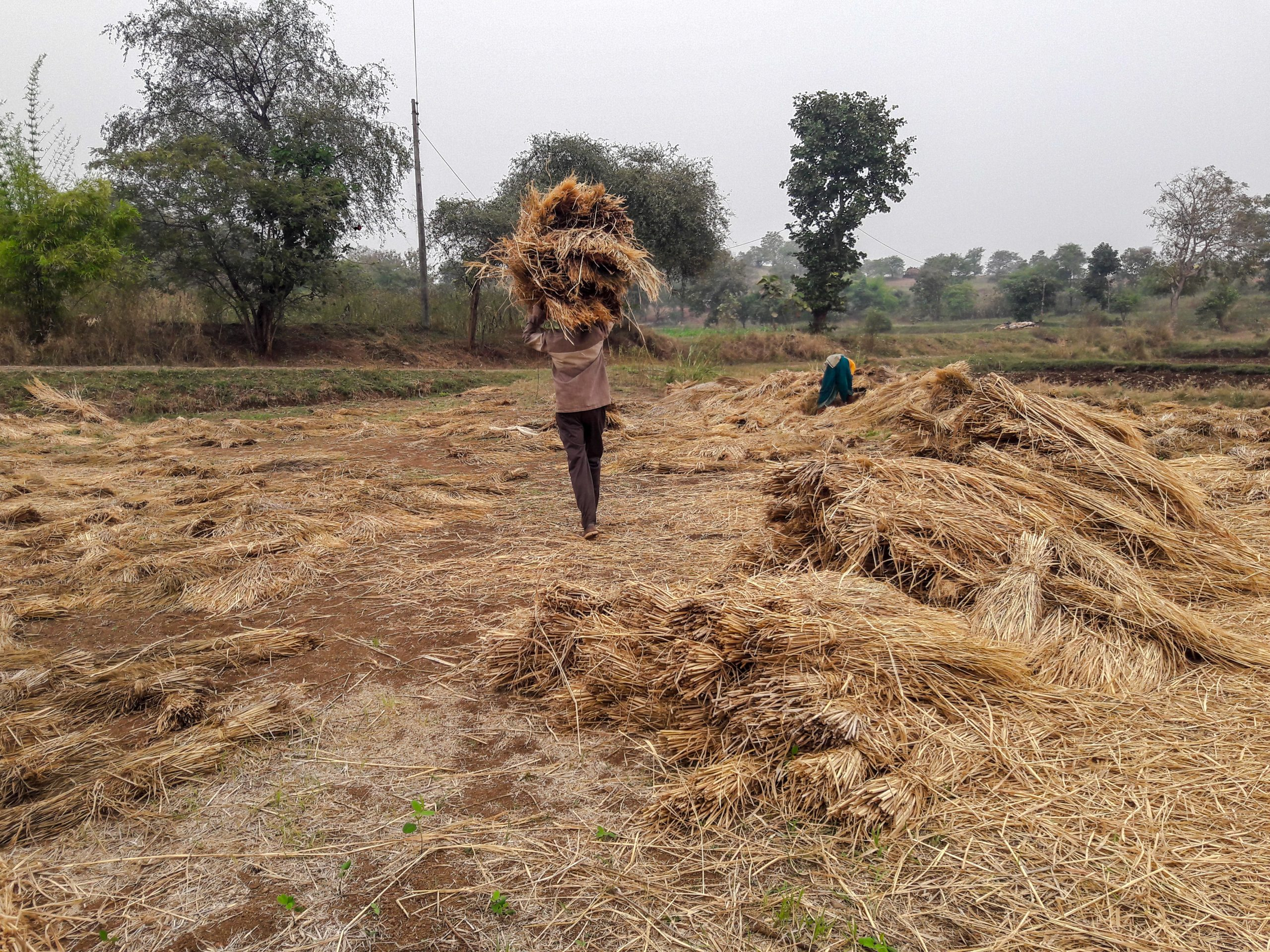 Paddy straw harvesting
