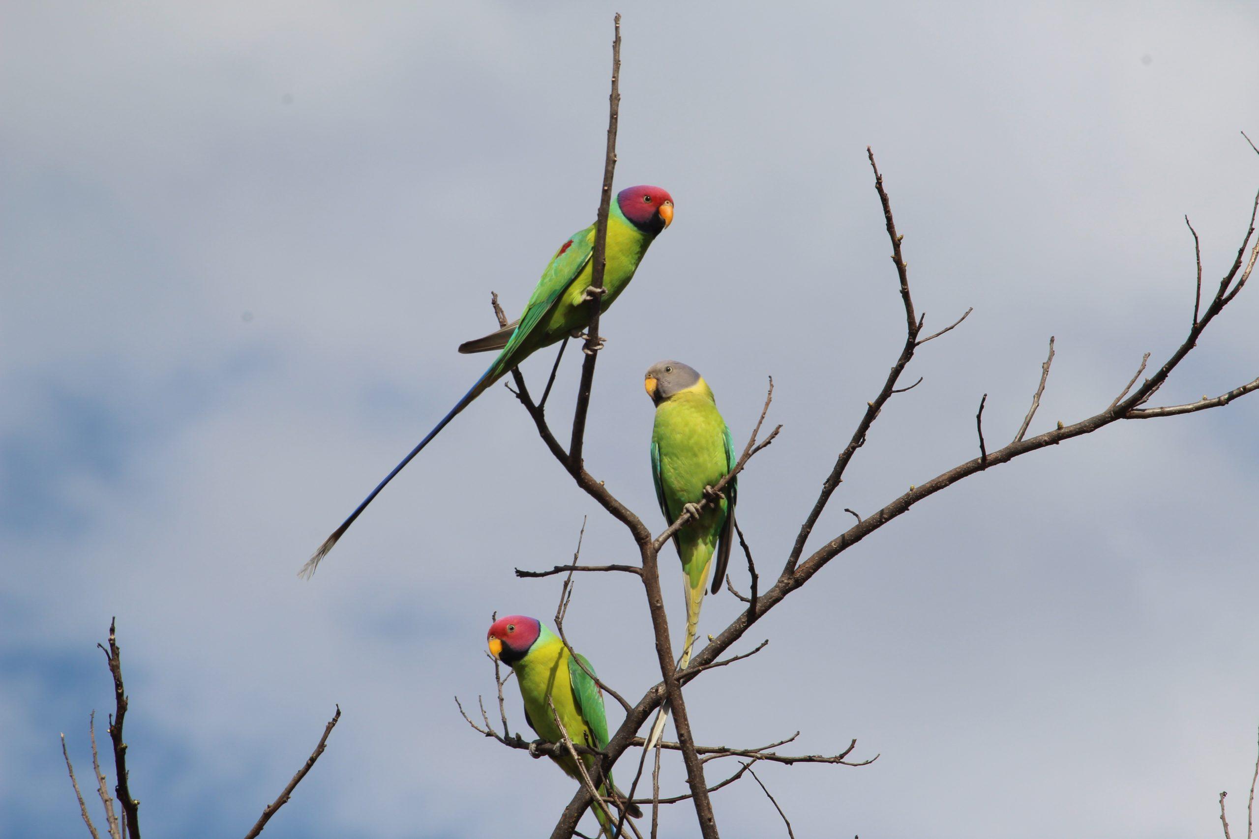Parrots on a dry plant