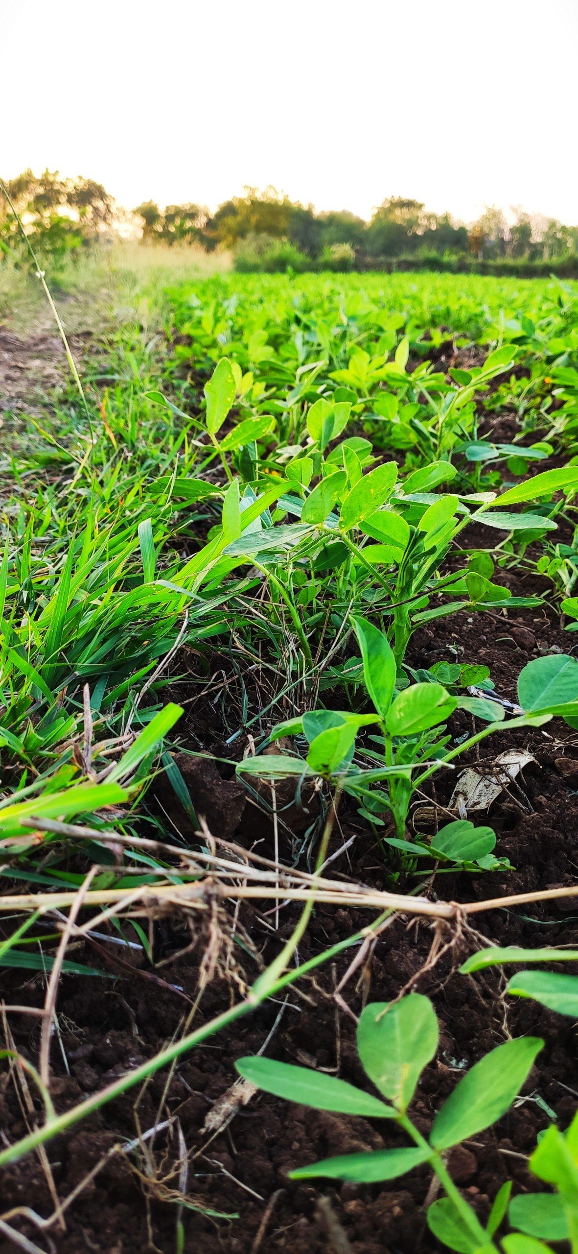 Peanut plants in a field