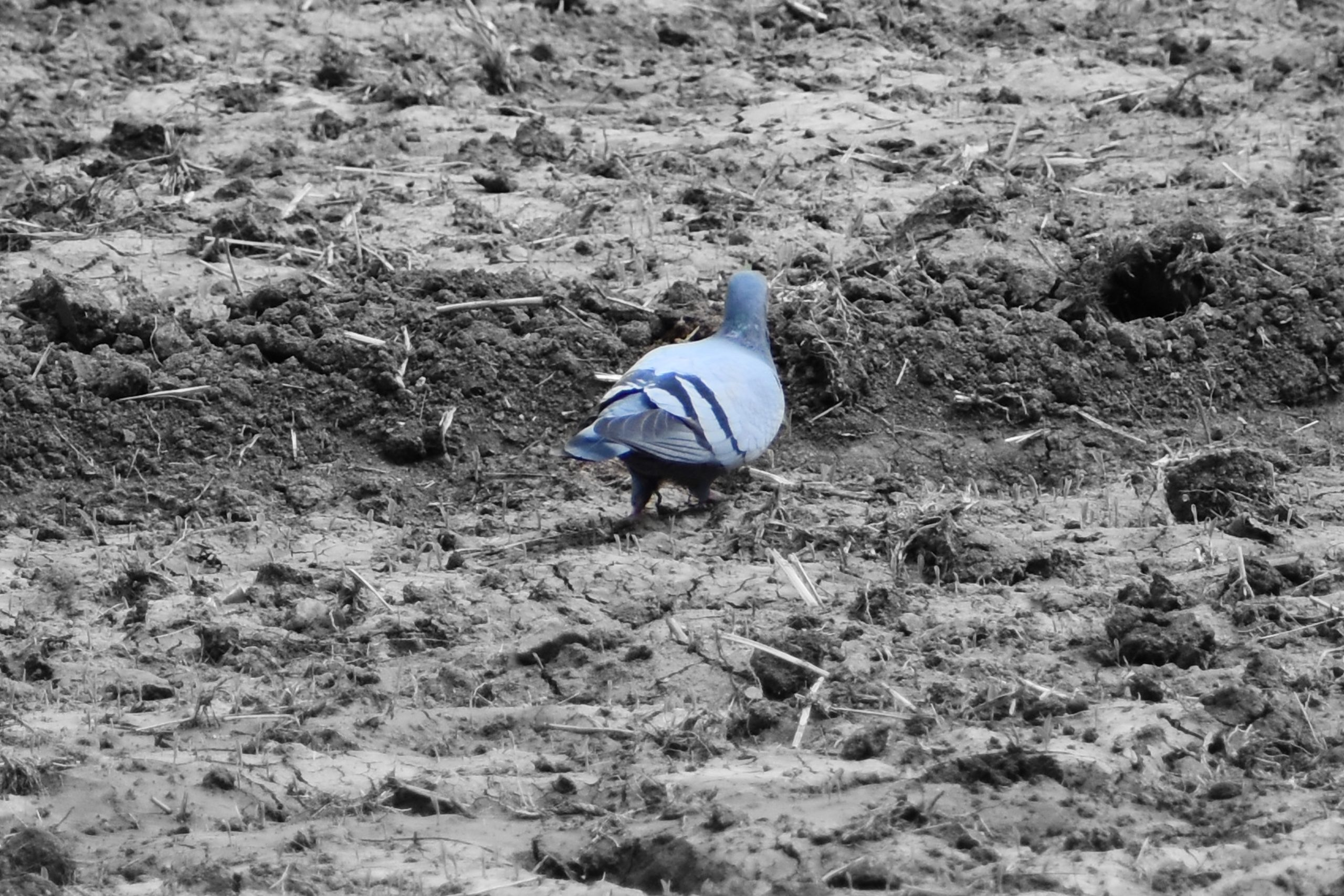 A pigeon on a field