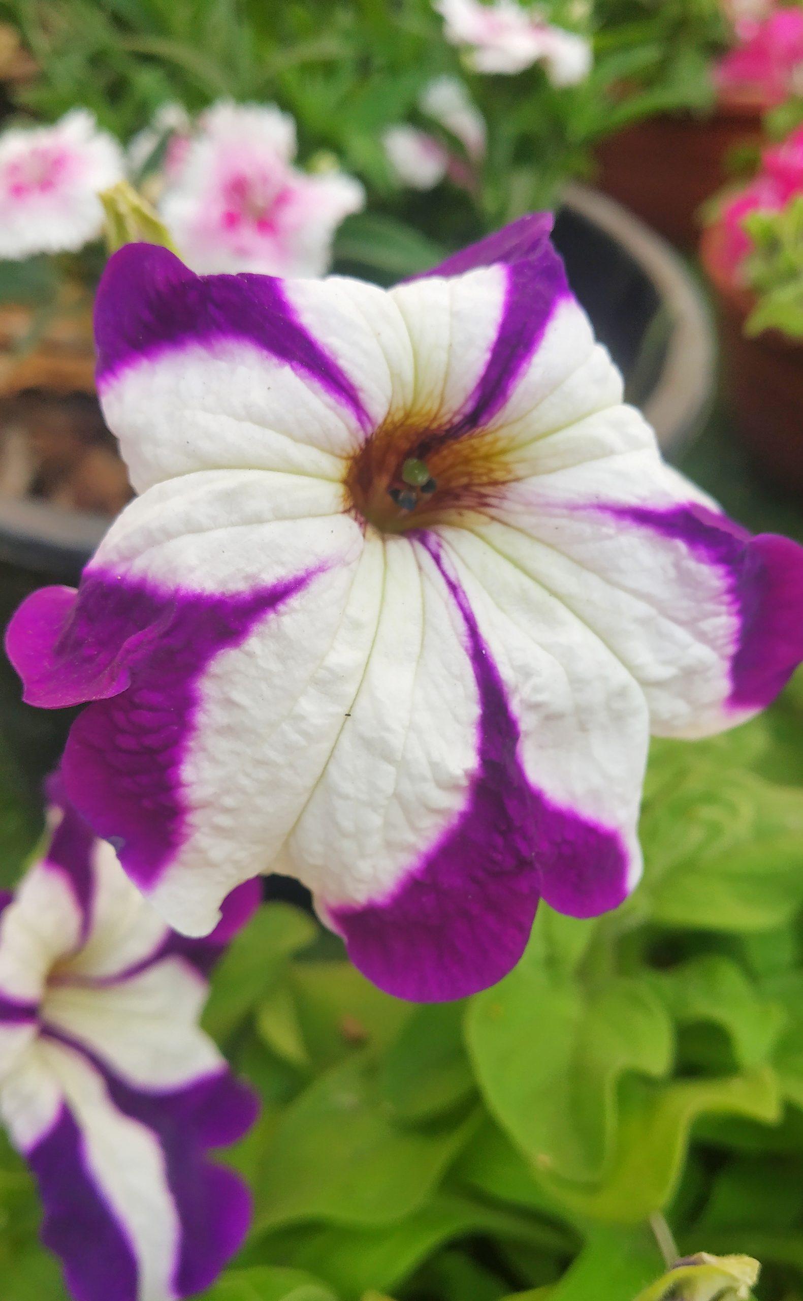Pituniya flower