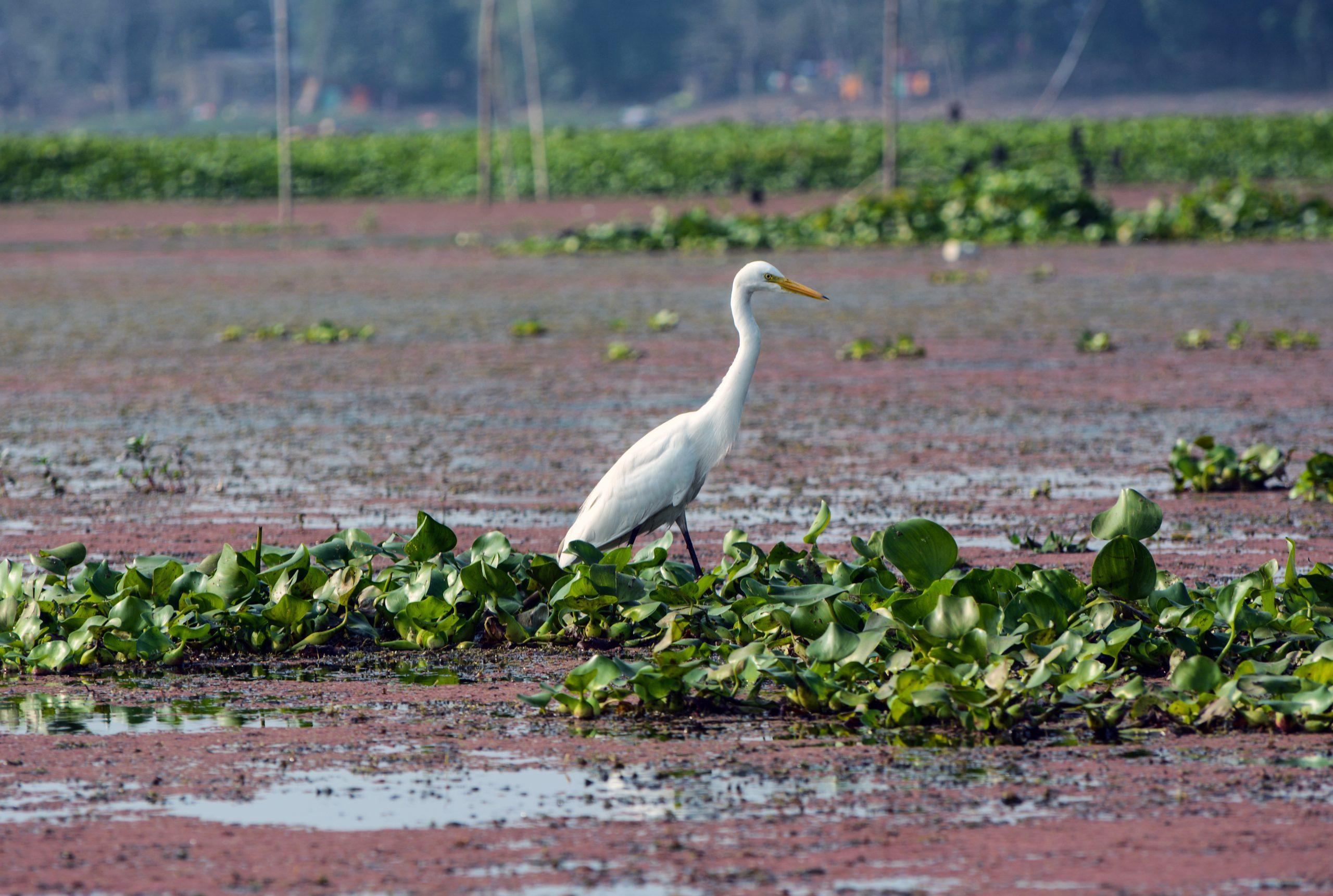 Duck in wet field