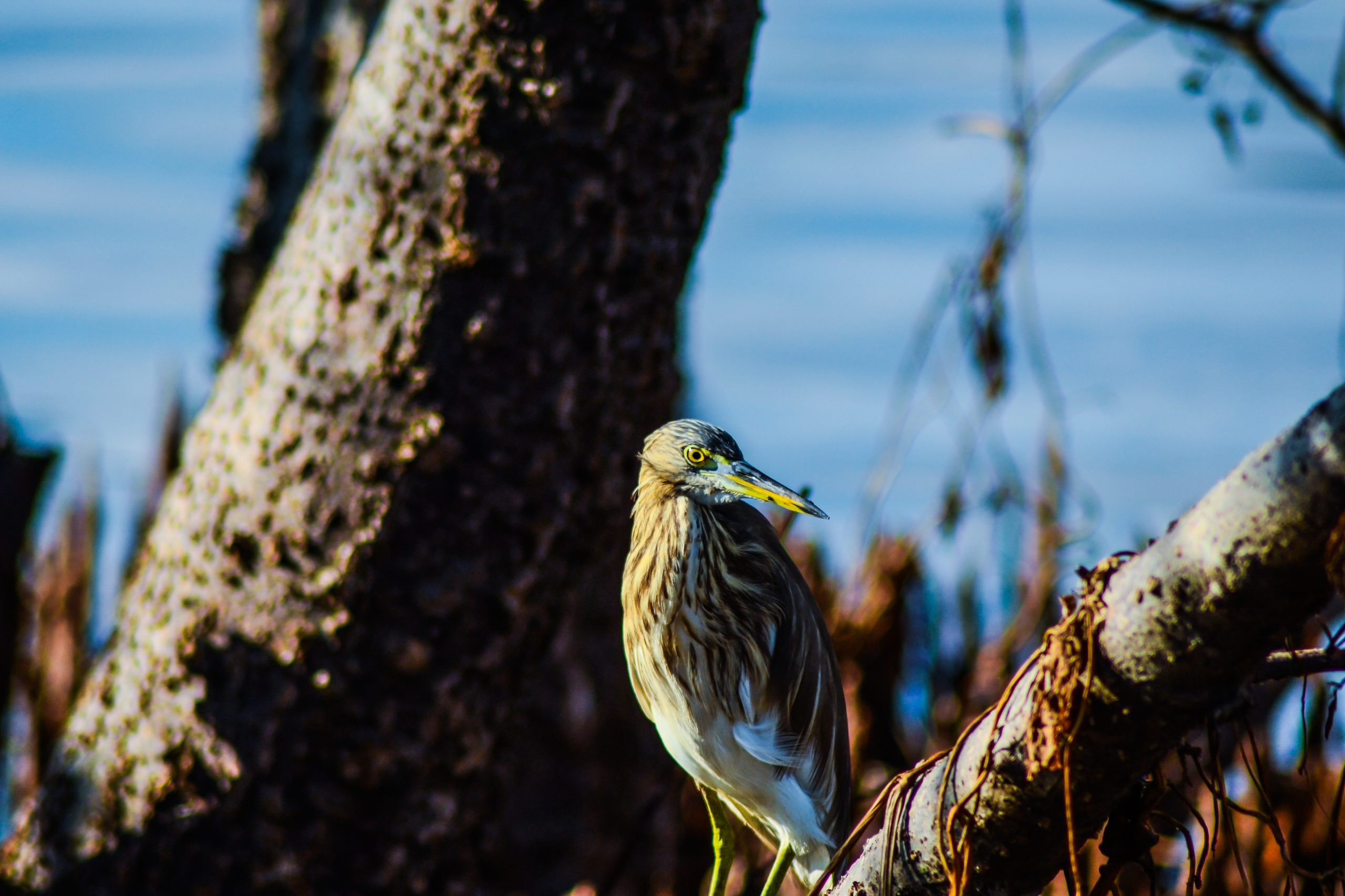Pond heron on a branch