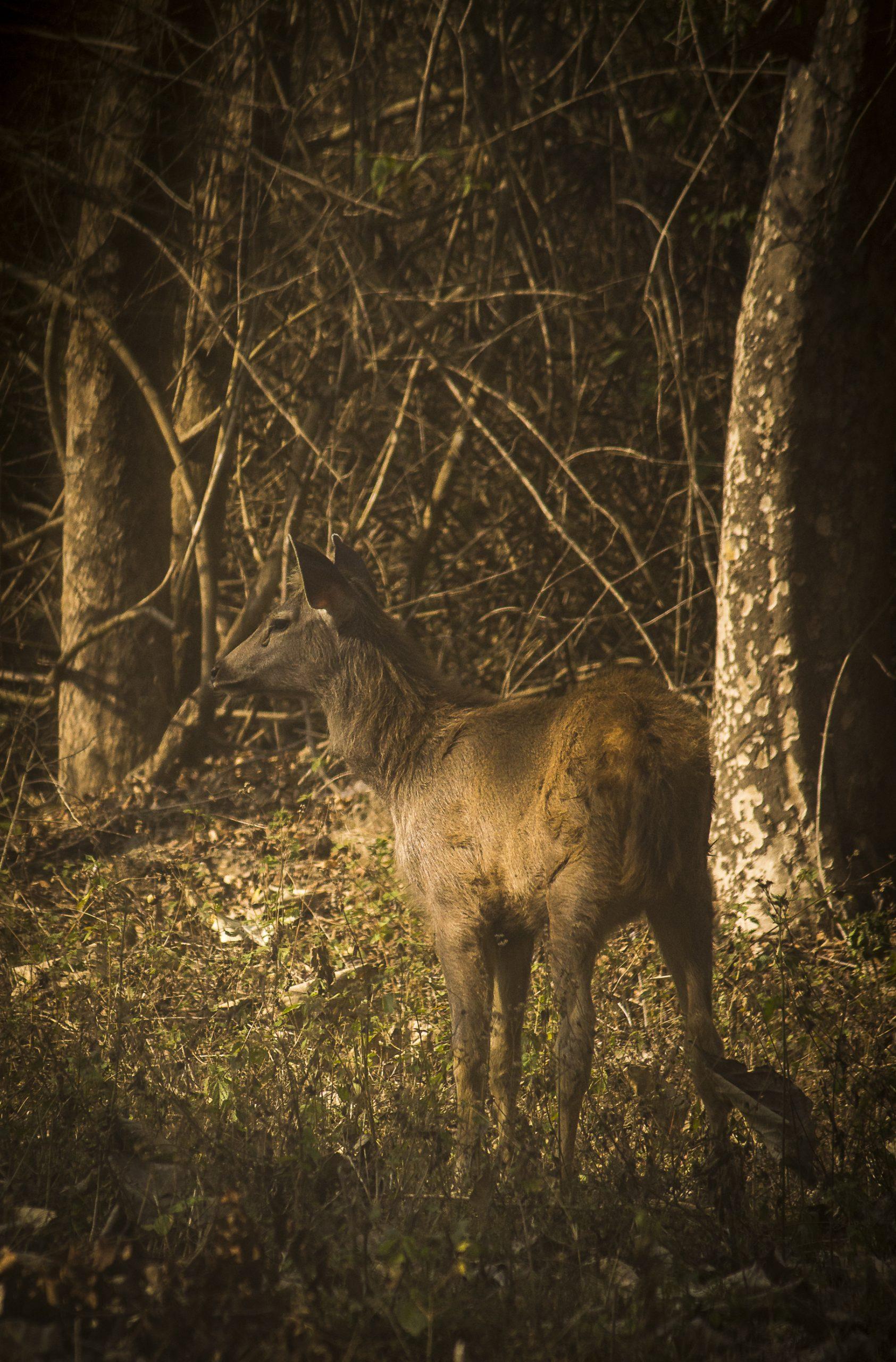 A female sambar deer in a jungle