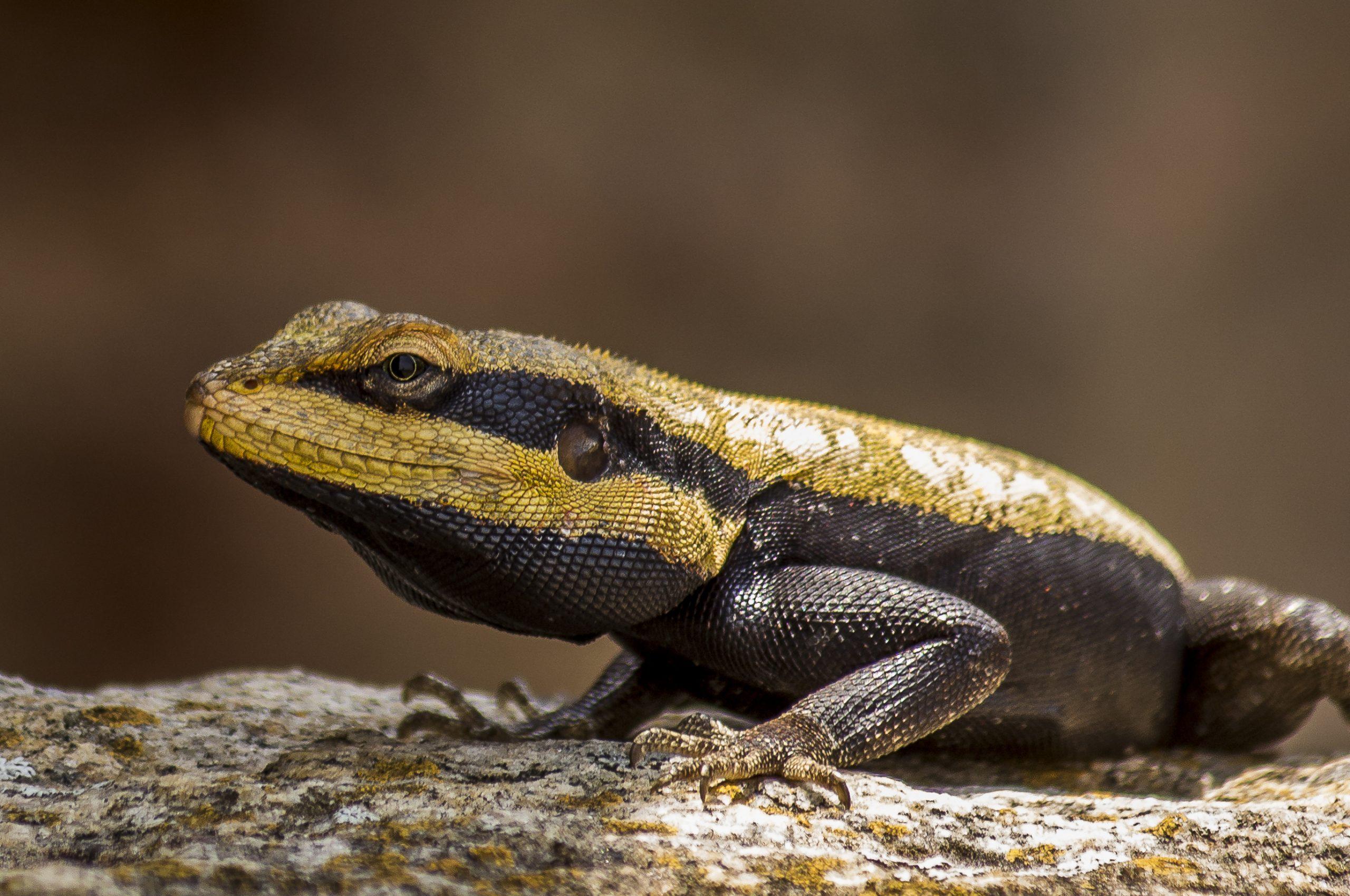 Lizard sitting on a rock