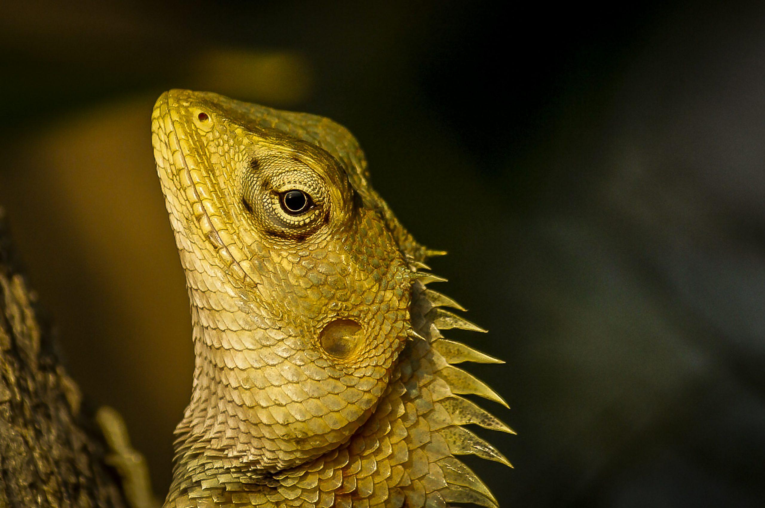 Portrait of garden lizard