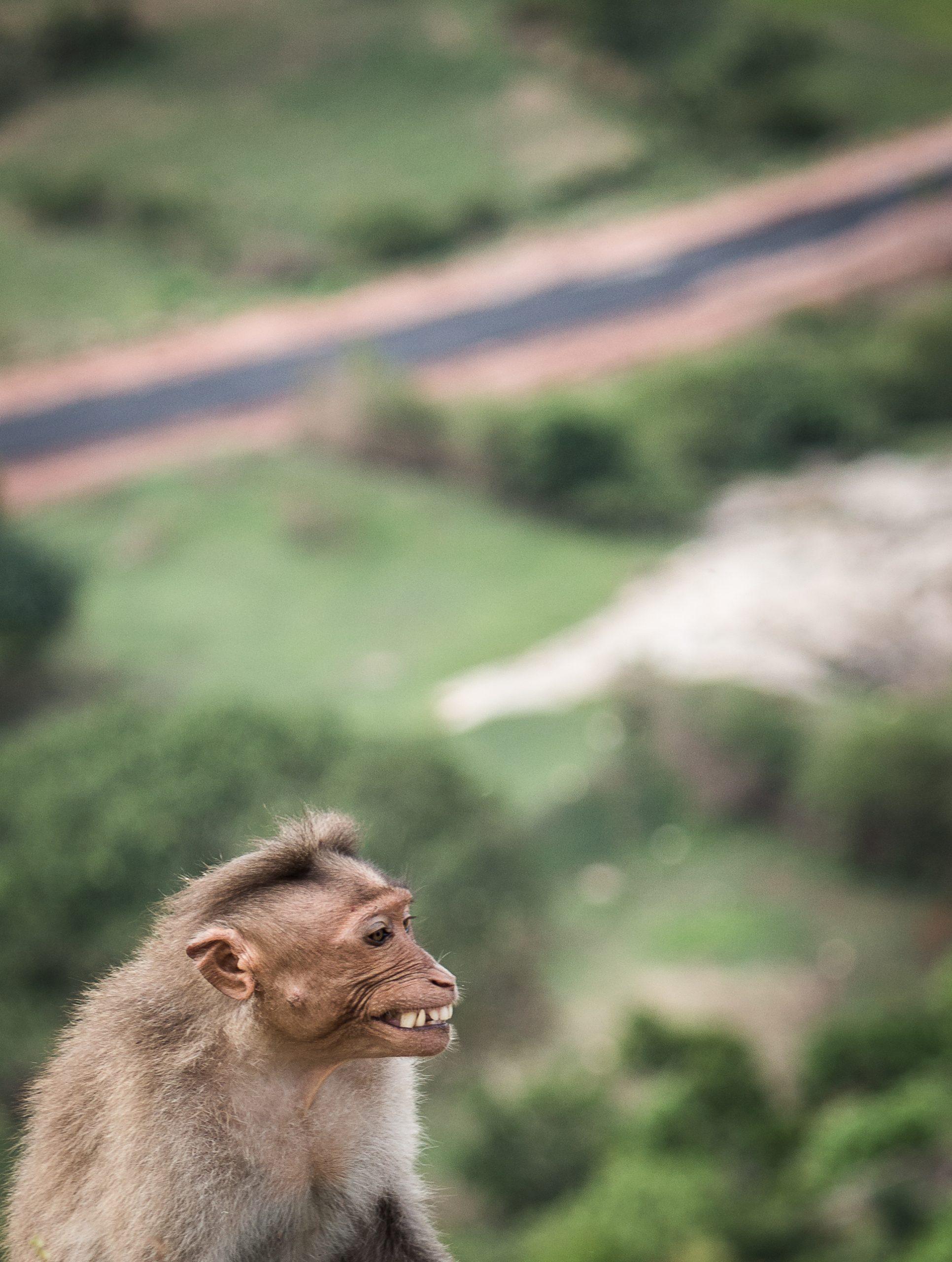 Monkey showing teeth