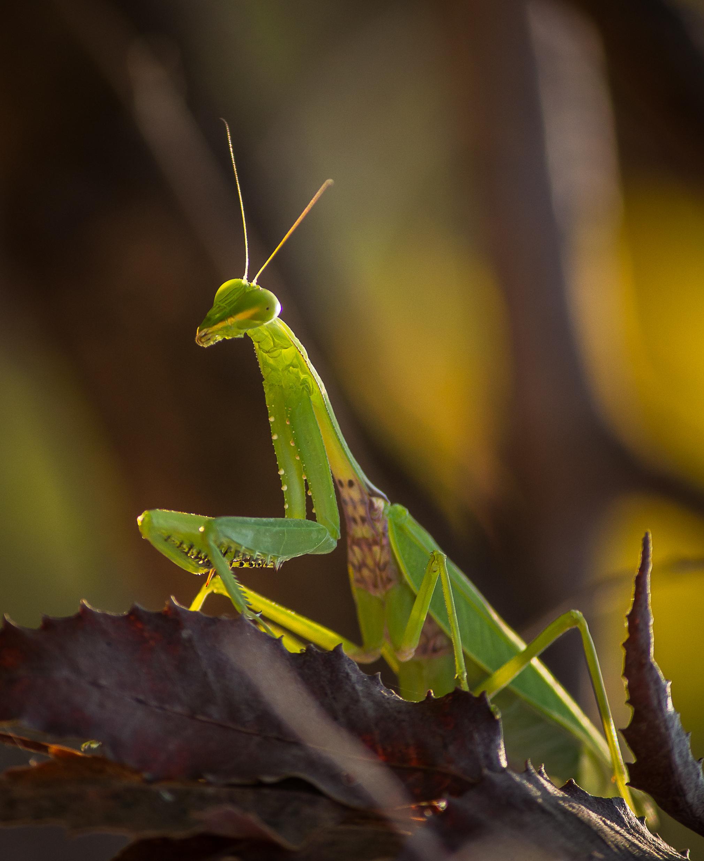 Praying Mantis sitting on a dried leaves