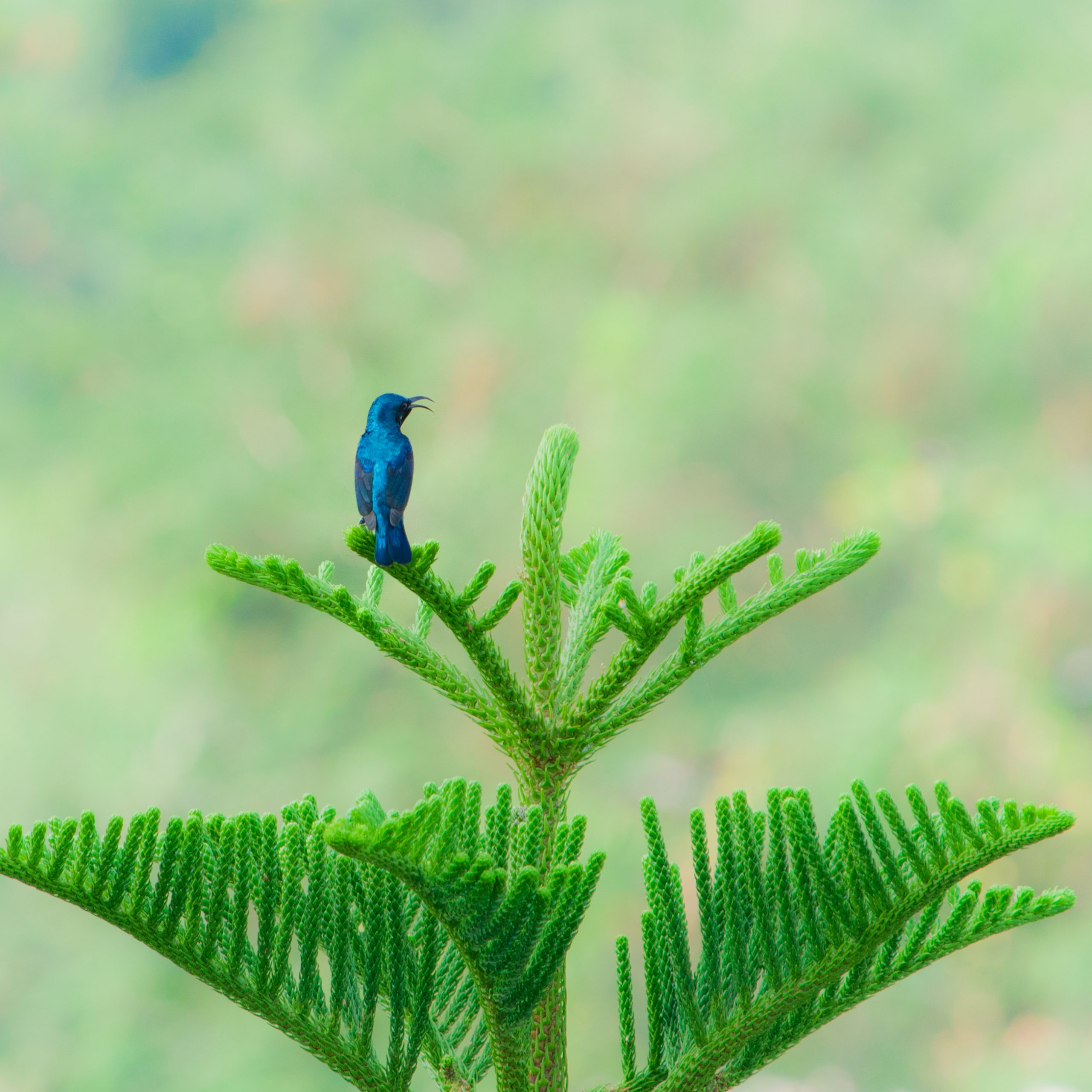 Purple Sunbird on a green plant