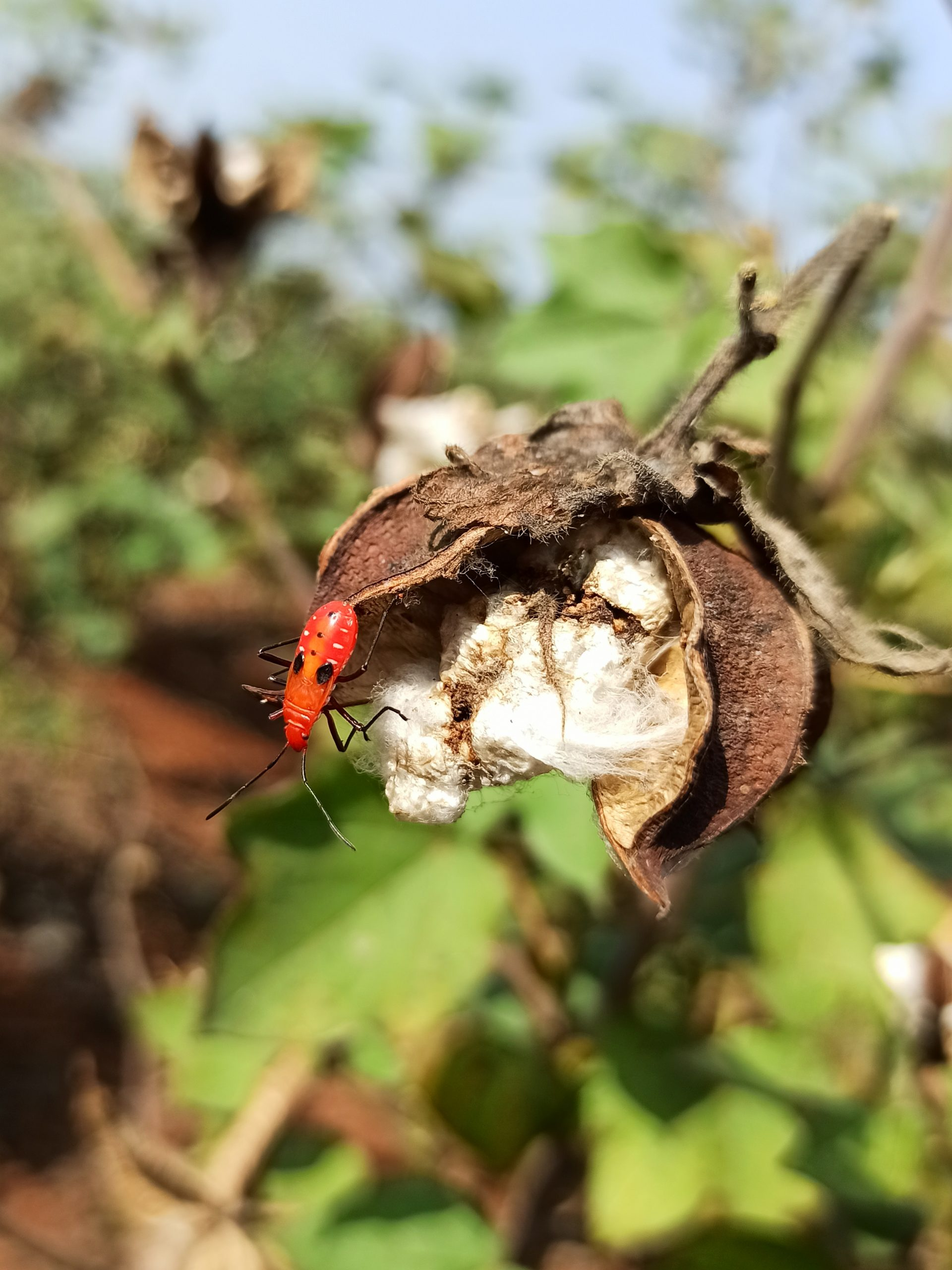 Red bug on cotton flower