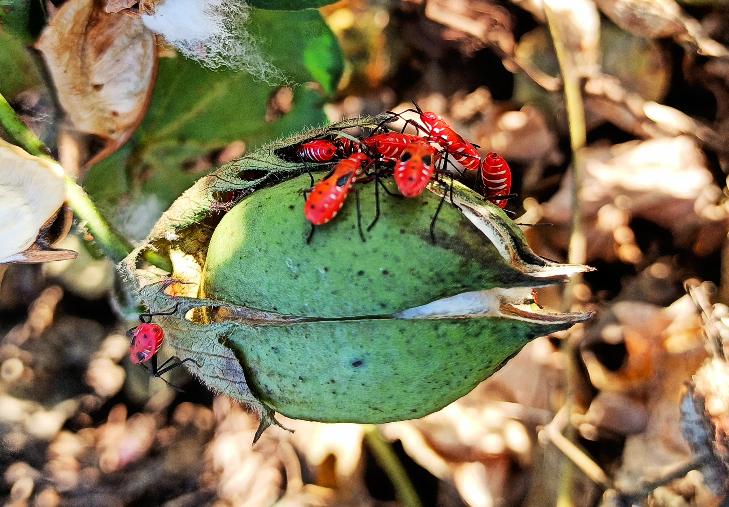 Red bugs on cotton plant