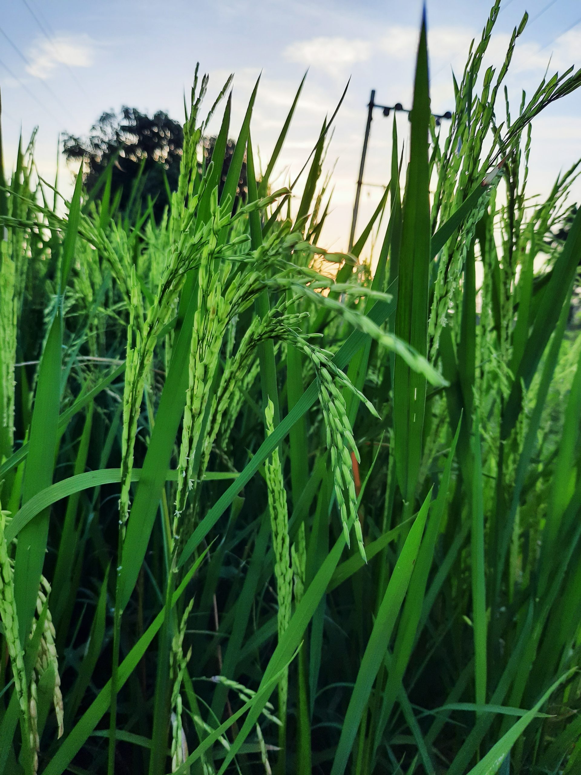 Rice crop in farm