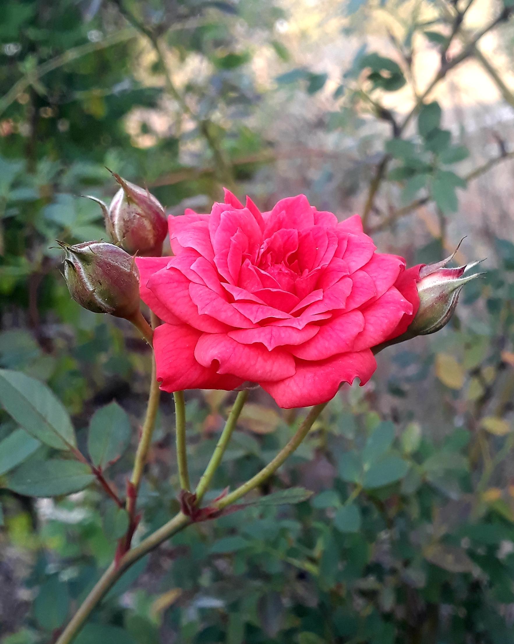 Rose flower on plant