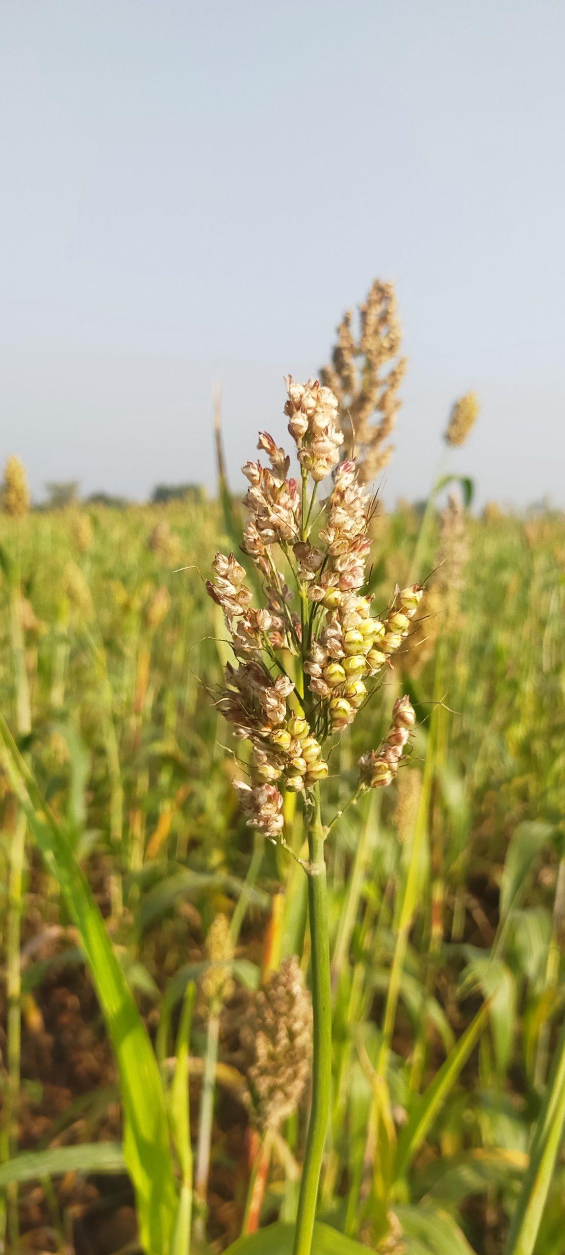 Sorghum plant grains